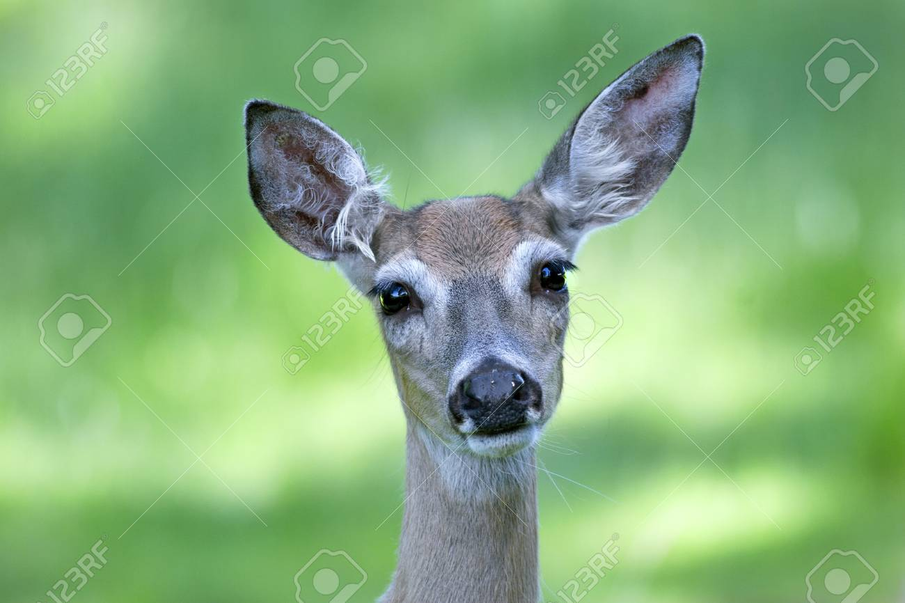White-tailed Doe Stock Photo - 17931200
