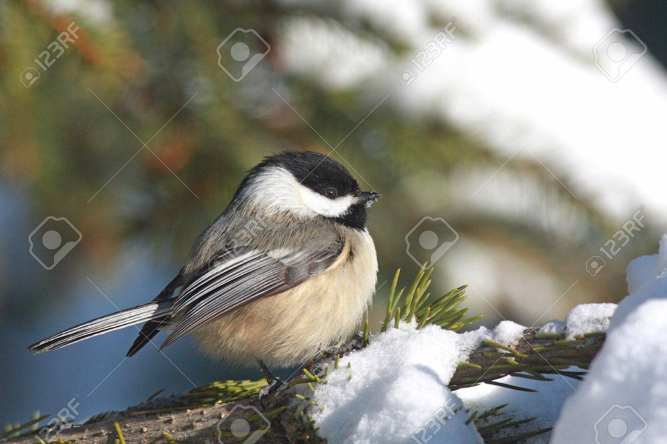 Black-capped Chickadee in Snow Stock Photo - 21543415
