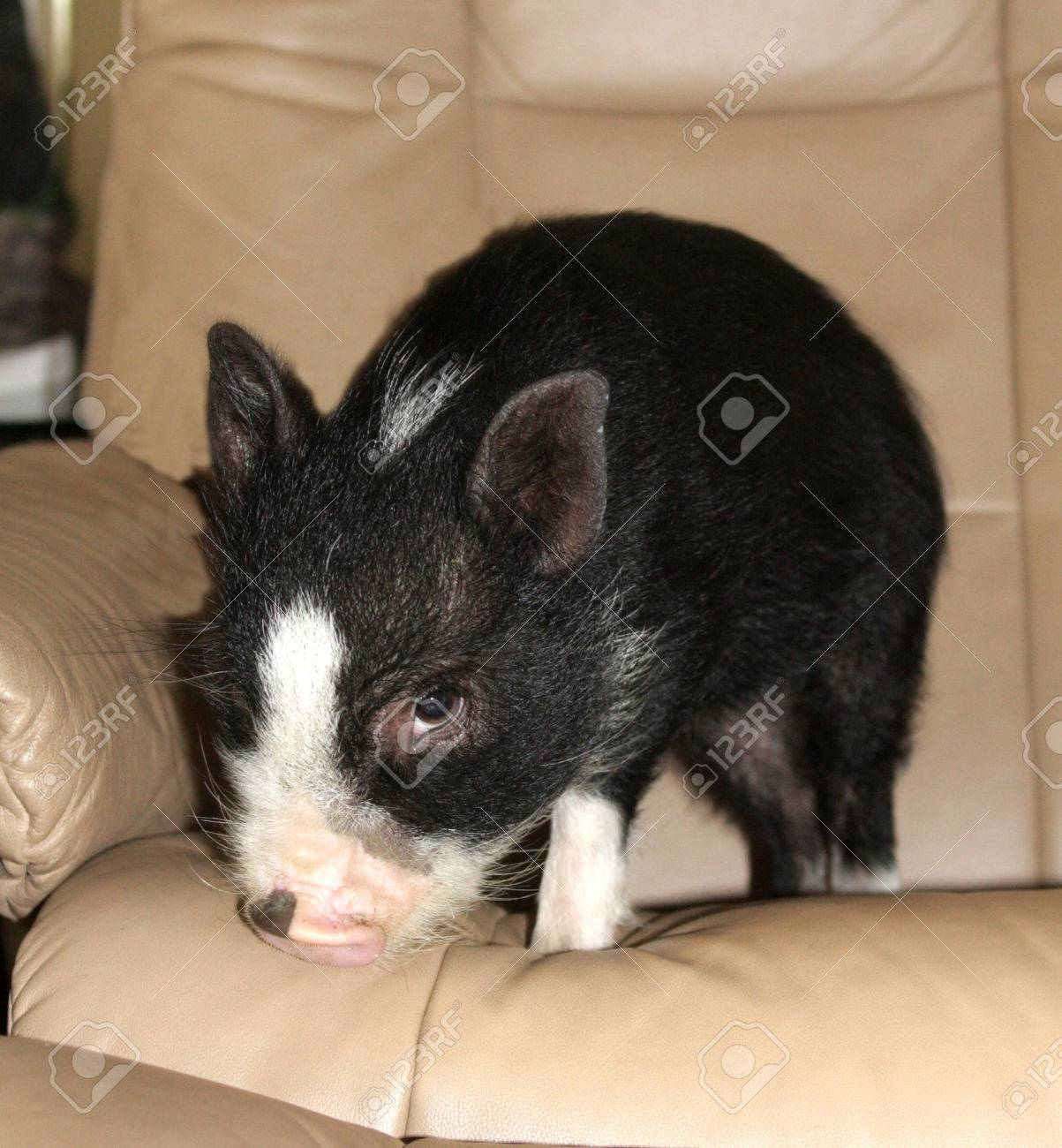 Pig with a guilty conscience Stock Photo - 23308423