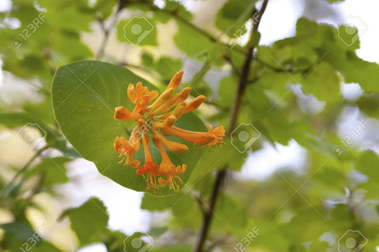 Wild Honeysuckle Blossom Stock Photo - 24263793