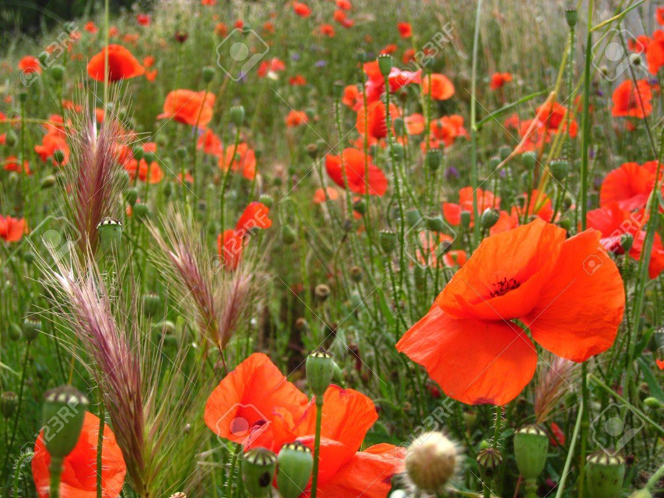 Field Full Of Poppies Flowers And Spikes Stock Photo Picture And