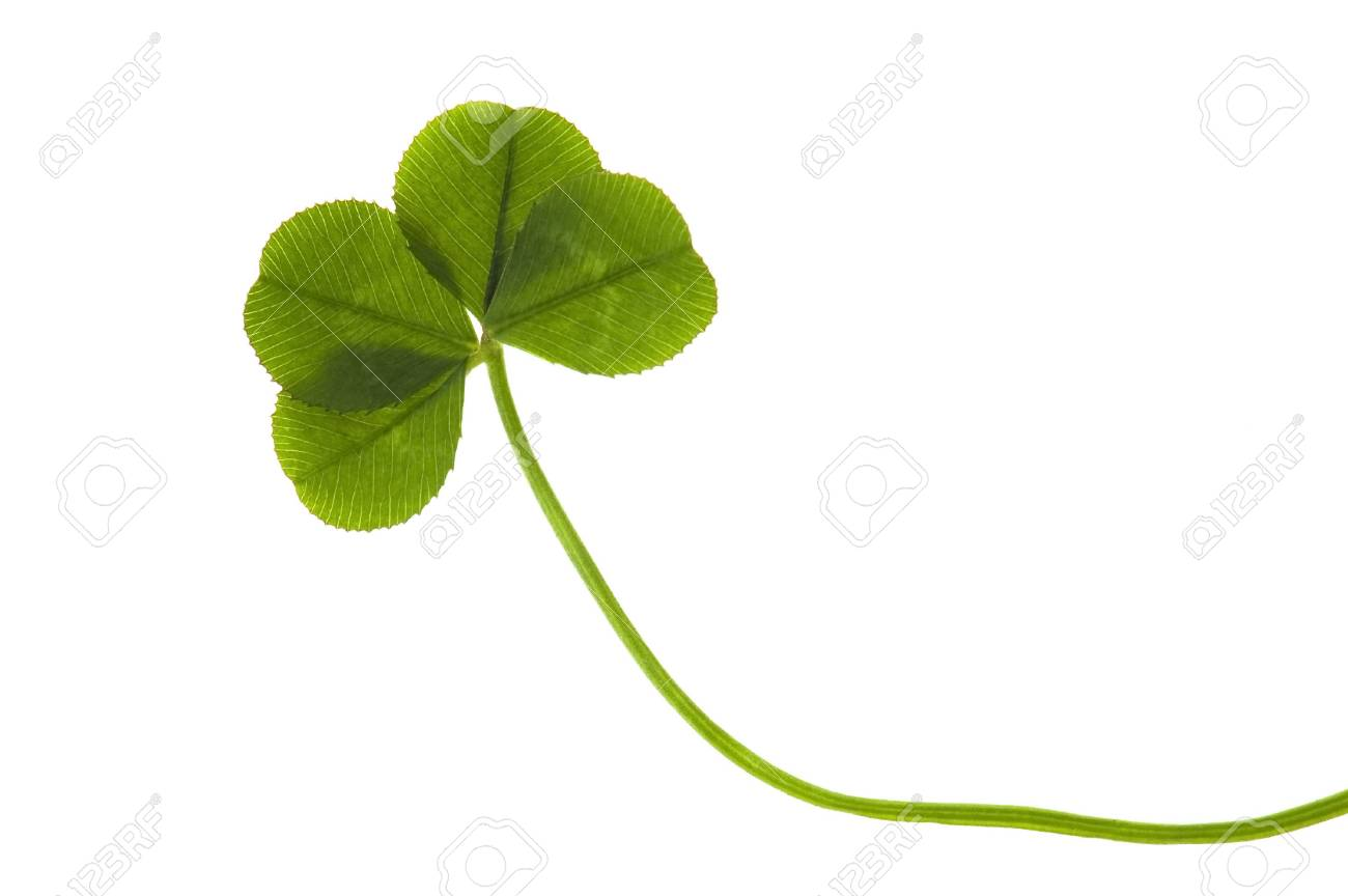 Four Leaf Clover isolated on the white background Stock Photo - 6395412