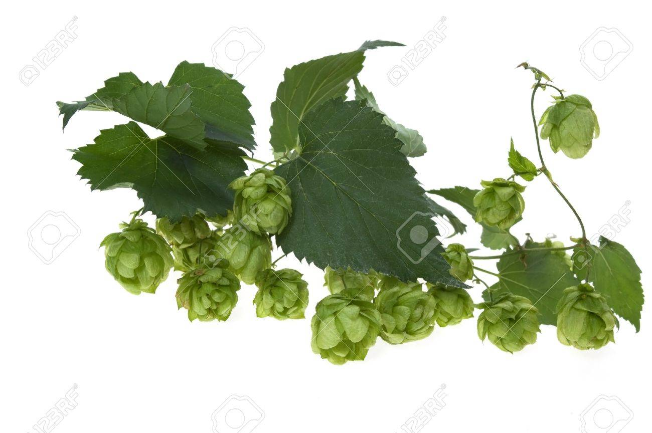 Detail of hop cone and leaves on white background Stock Photo - 8689225