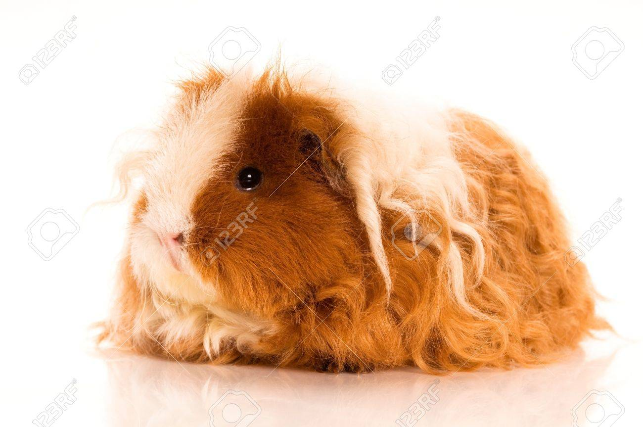 long hair guinea pig isolated on the white background Stock Photo - 9765044