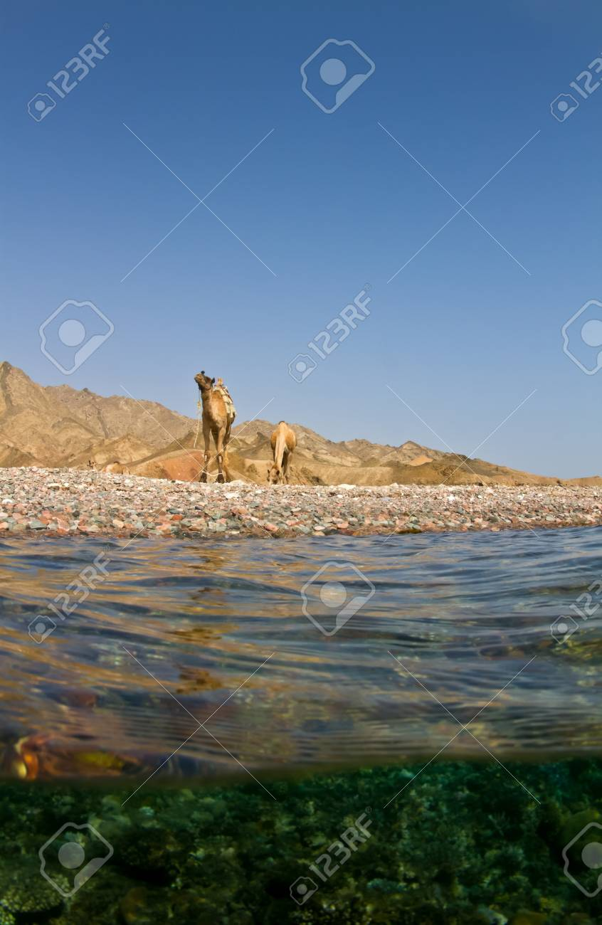 Surfacing from a dive near the famous blue hole in Dahab Egypt to find camels waiting near by! Stock Photo - 11784568