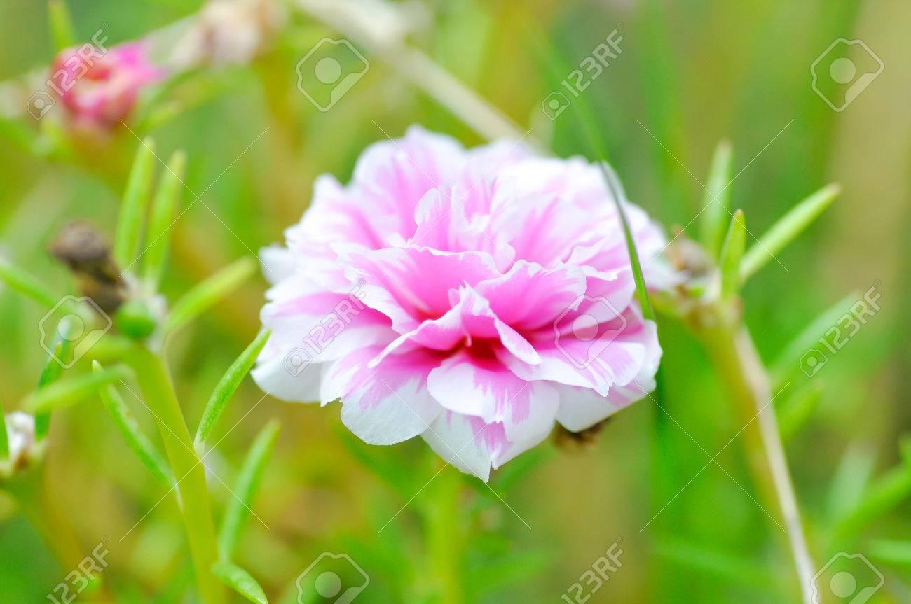 Portulaca, Moss Rose, Sun Plant, Sun Rose,purslane,pussley Flower In