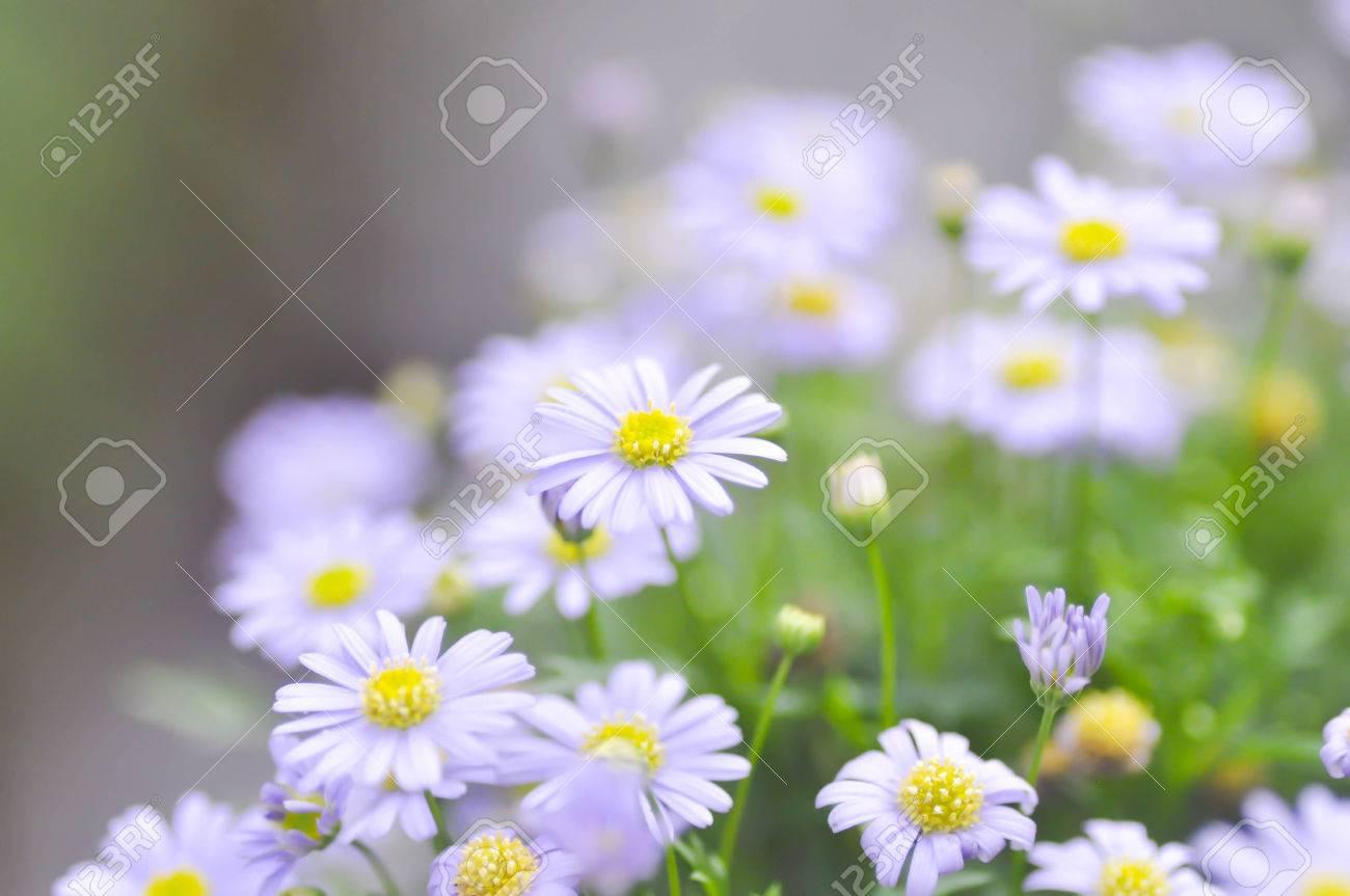 Purple Bellis Perennis Or Purple Daisy Flower In Blur Background