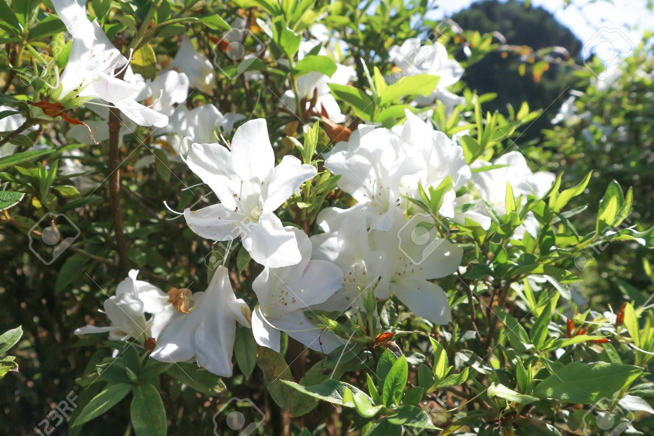 Azalea Or Ericaceae Or Rhododendron Flower Or White Flower Stock