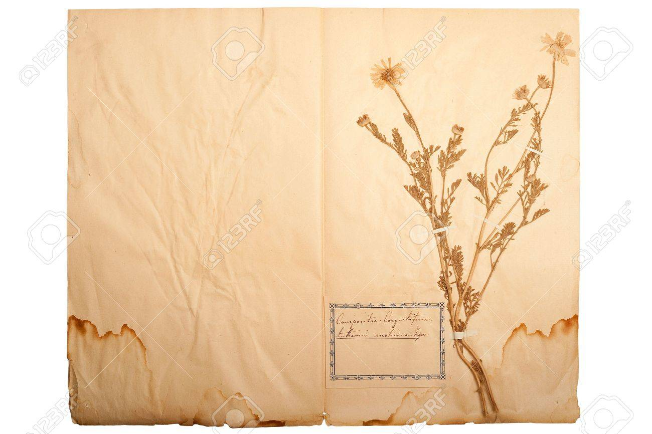 Pressed Flower On Old Gone Yellow Paper Herbary Sheet 1 Stock
