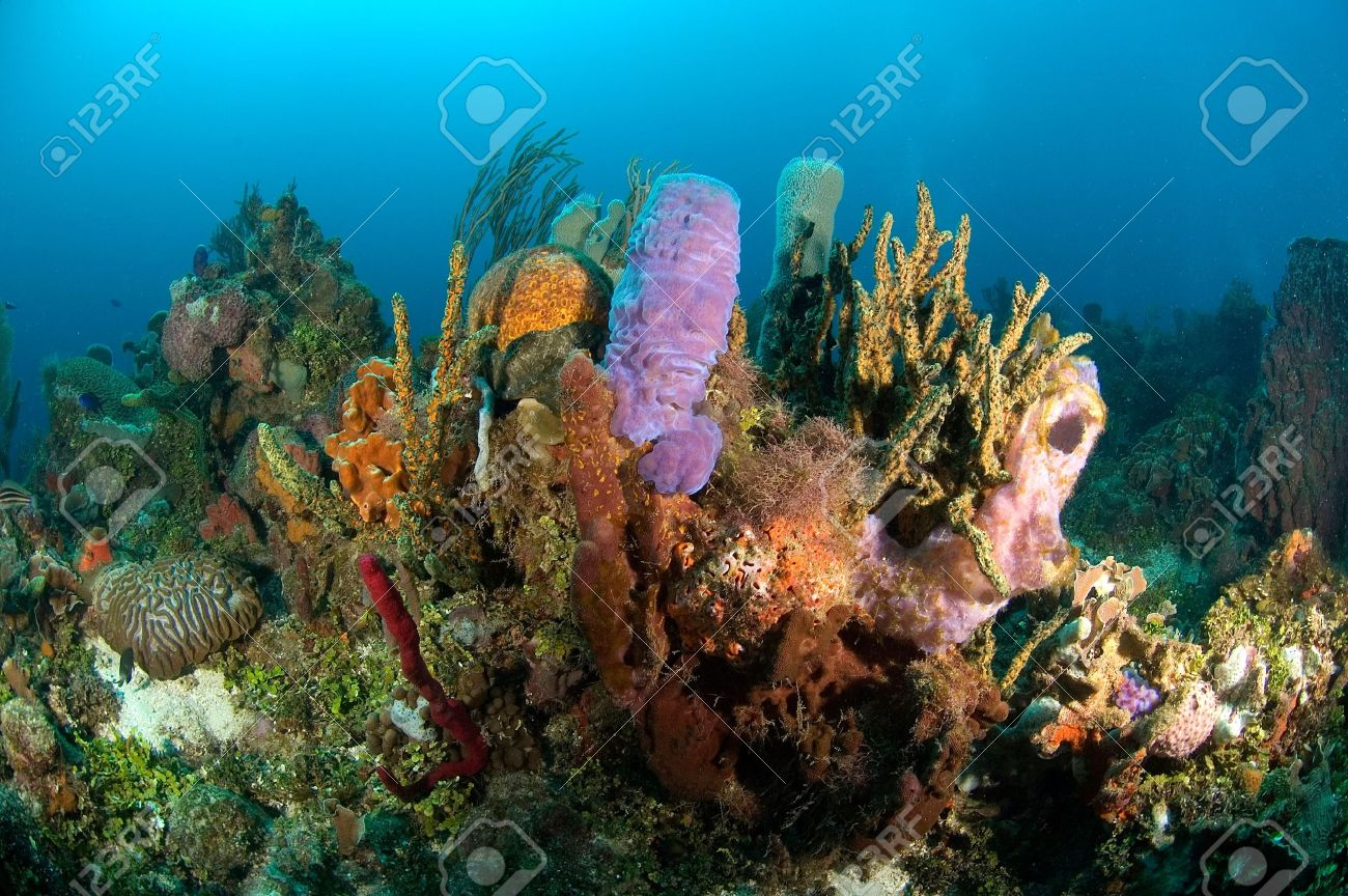A fragile, yet colorful coral reef in Honduras Stock Photo - 1943504