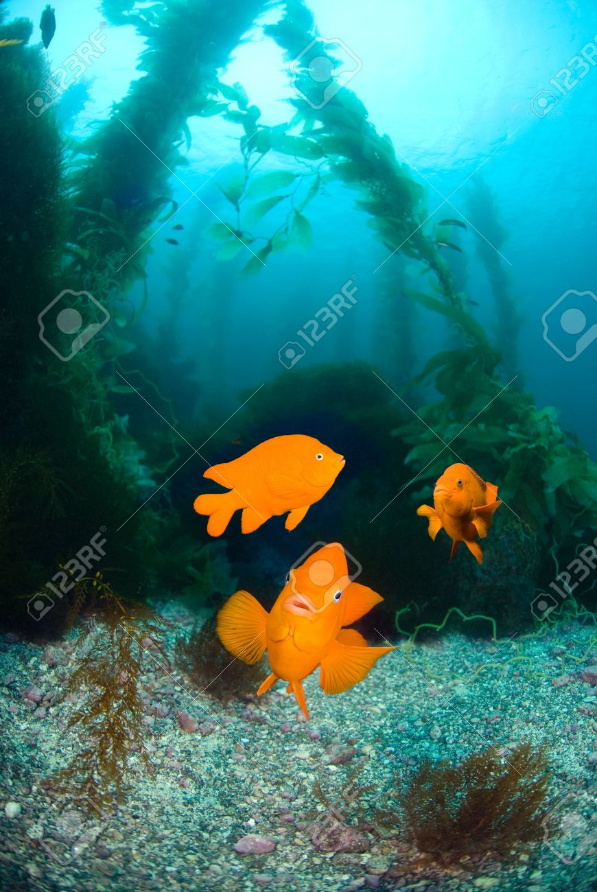 Three orange garibaldi fish swim in a kelp bed that looks like a clear water aquarium.   Excellent image for showing nature and interaction. Stock Photo - 6040132