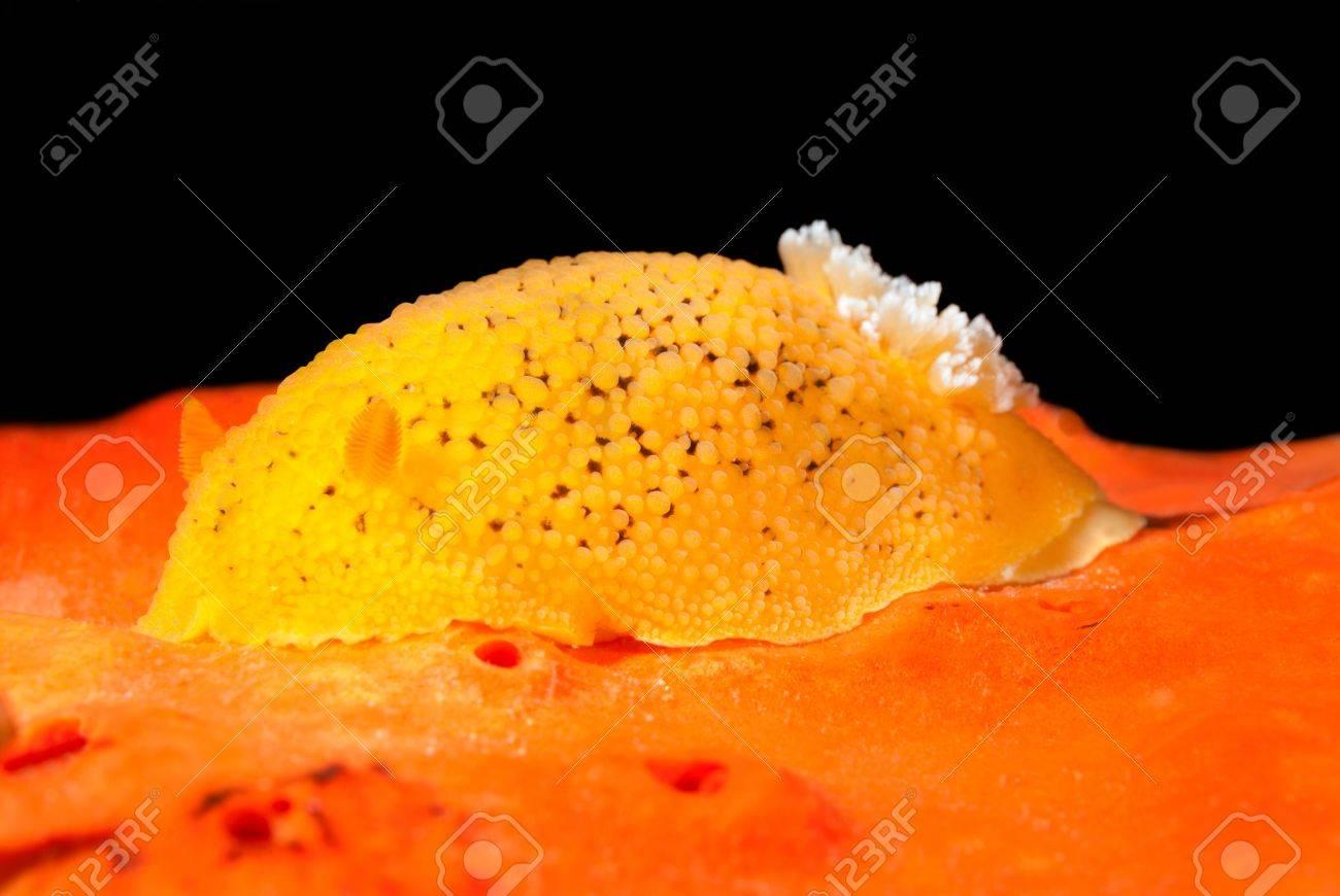 An underwater snail called a lemon nudibranch crawls over orange sponge while feeding. Stock Photo - 19603836