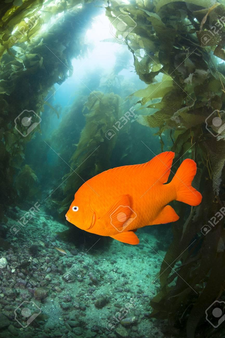 A, Garibaldi Naranja Brillante Pez Nadando A Través De Un Lecho De ...