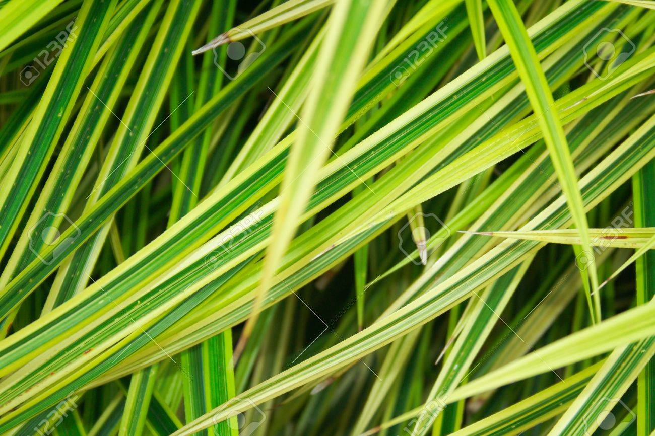closeup shot of beautiful of spider plant st bernard u0027s lily