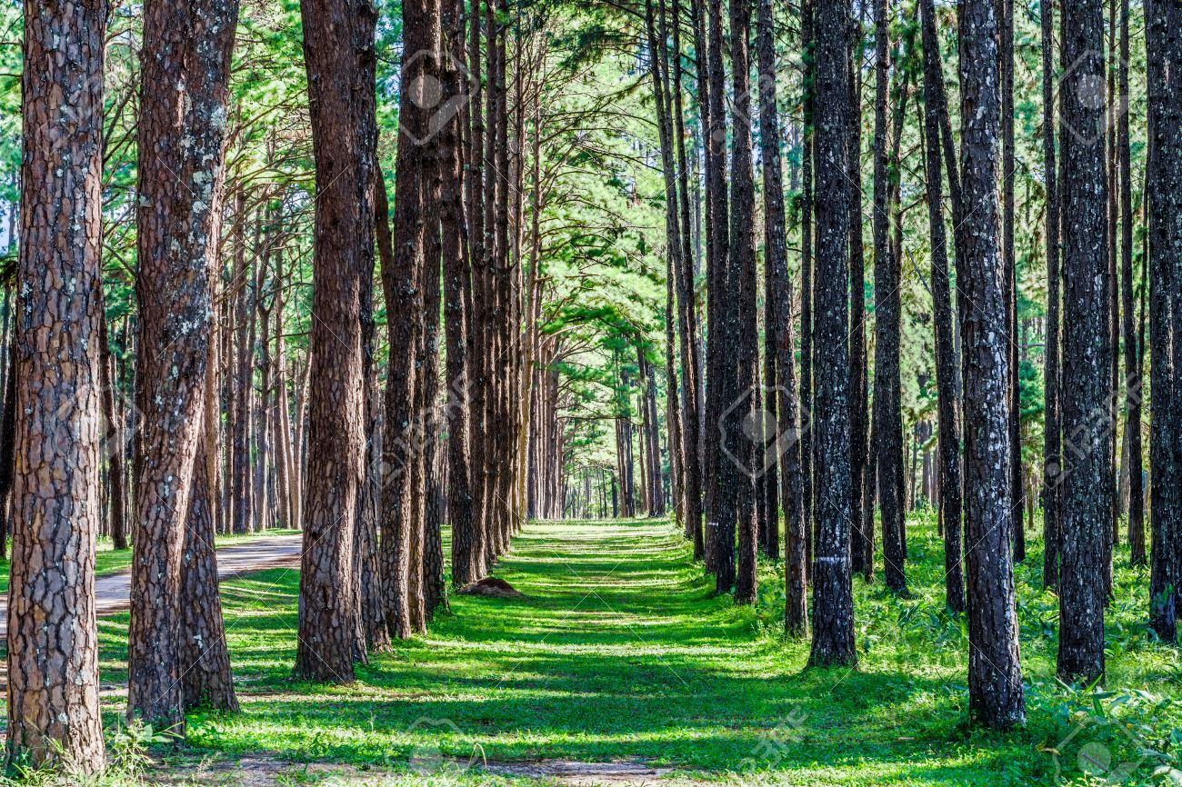 Landscape View Of Pine Trees In Suan Son Bo Kaeo Botanical Garden In  Northern Thailand Stock