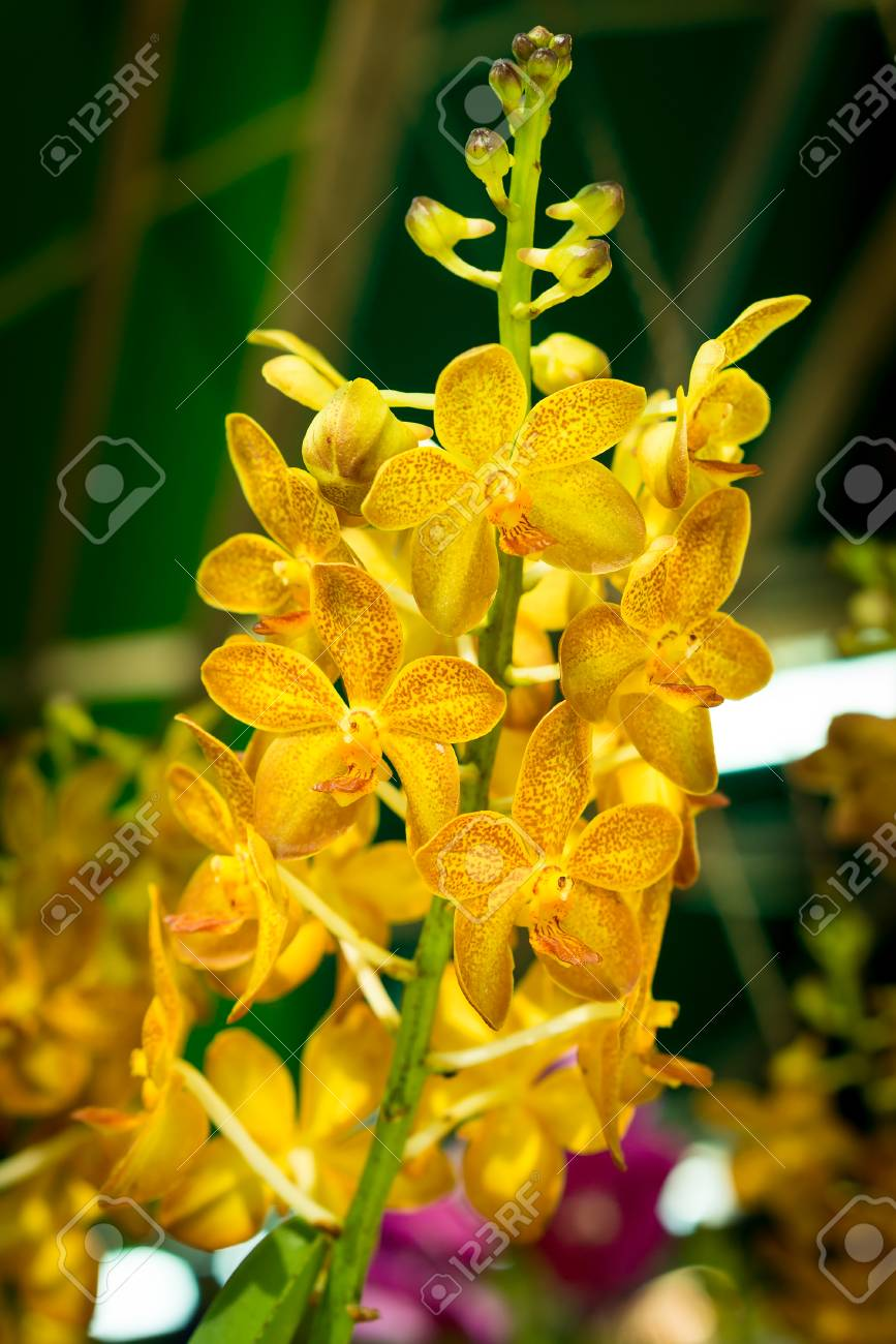 Yellow Flower Inflorescence Of Vanda Species It Is A Hybrids