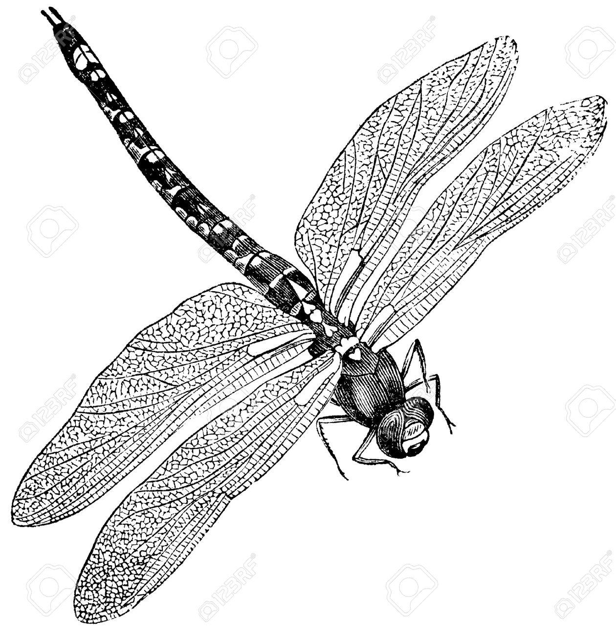 14128387-Vintage-engraved-illustration-of-a-dragonfly-isolated-against-white--Stock-Illustration.jpg