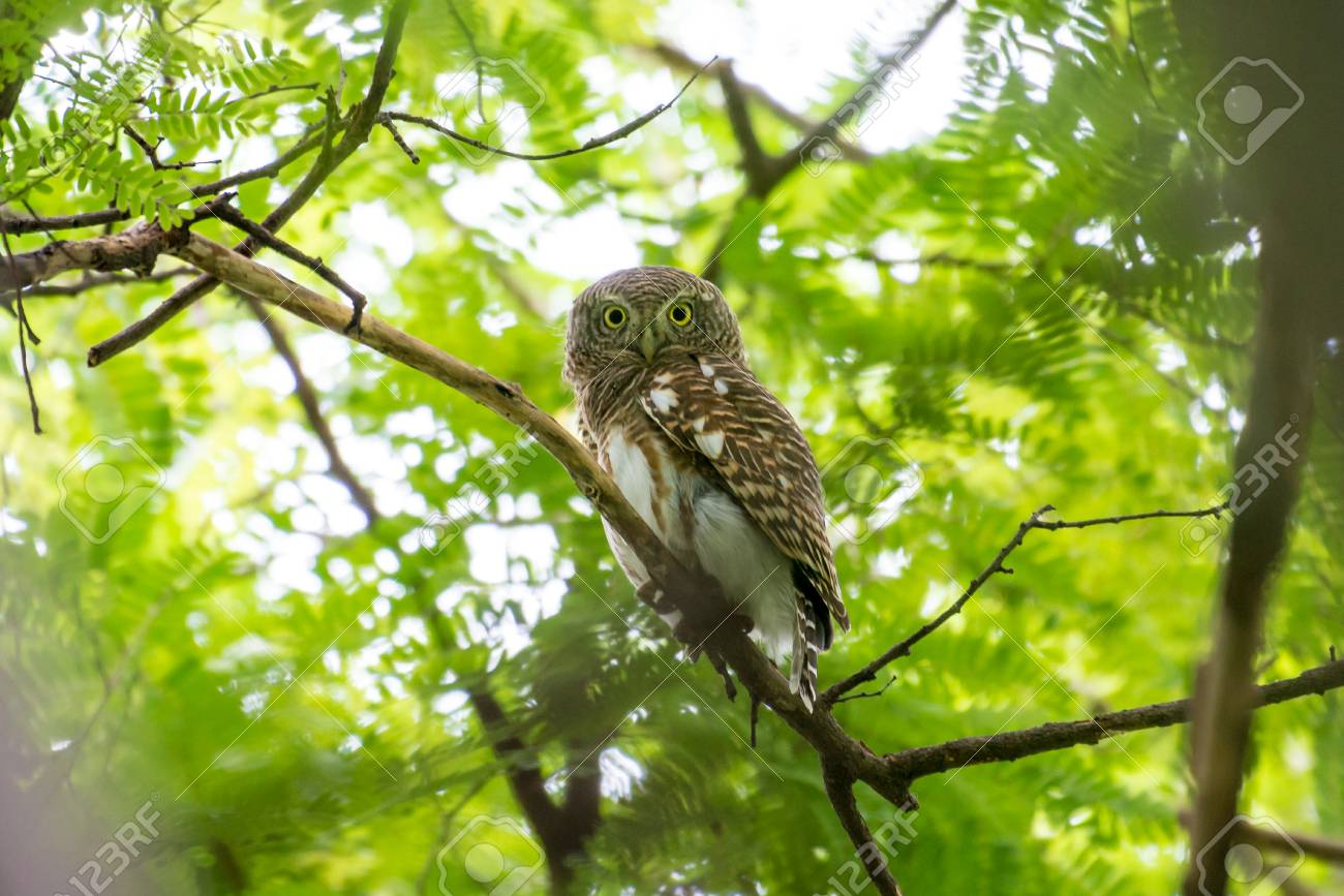 the asian barred owlet is a species of true owl resident in stock