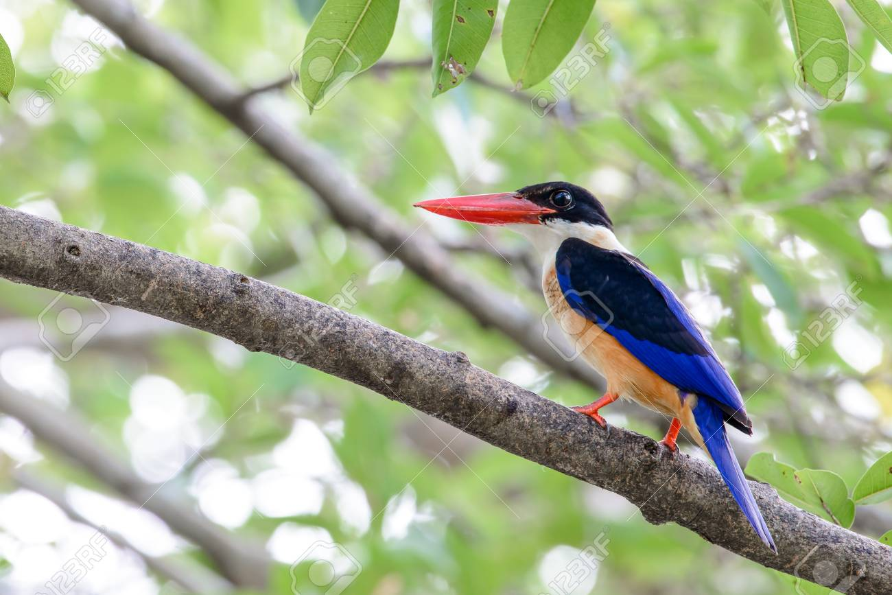 Black-capped Kingfisher Is A Tree Kingfisher Which Is Widely.. Stock Photo, Picture And Royalty Free Image. Image 98726353.