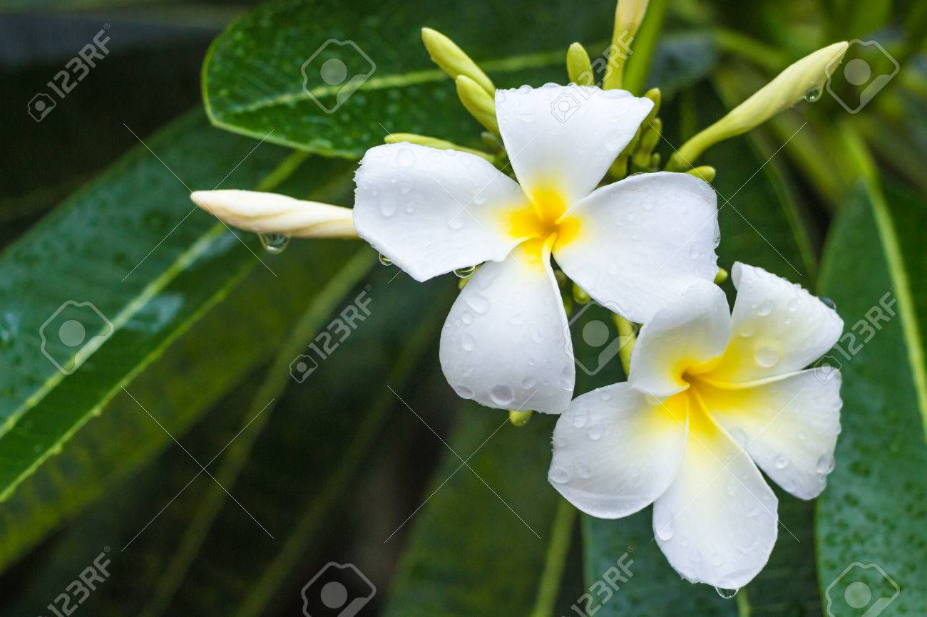 Evergreen frangipani graveyard flower pagoda tree temple tree evergreen frangipani graveyard flower pagoda tree temple tree west indian jasmine or izmirmasajfo