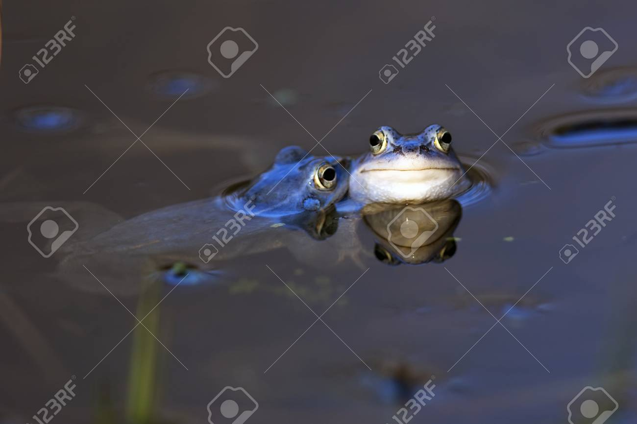 Moor frogs in the wild Stock Photo - 26957692