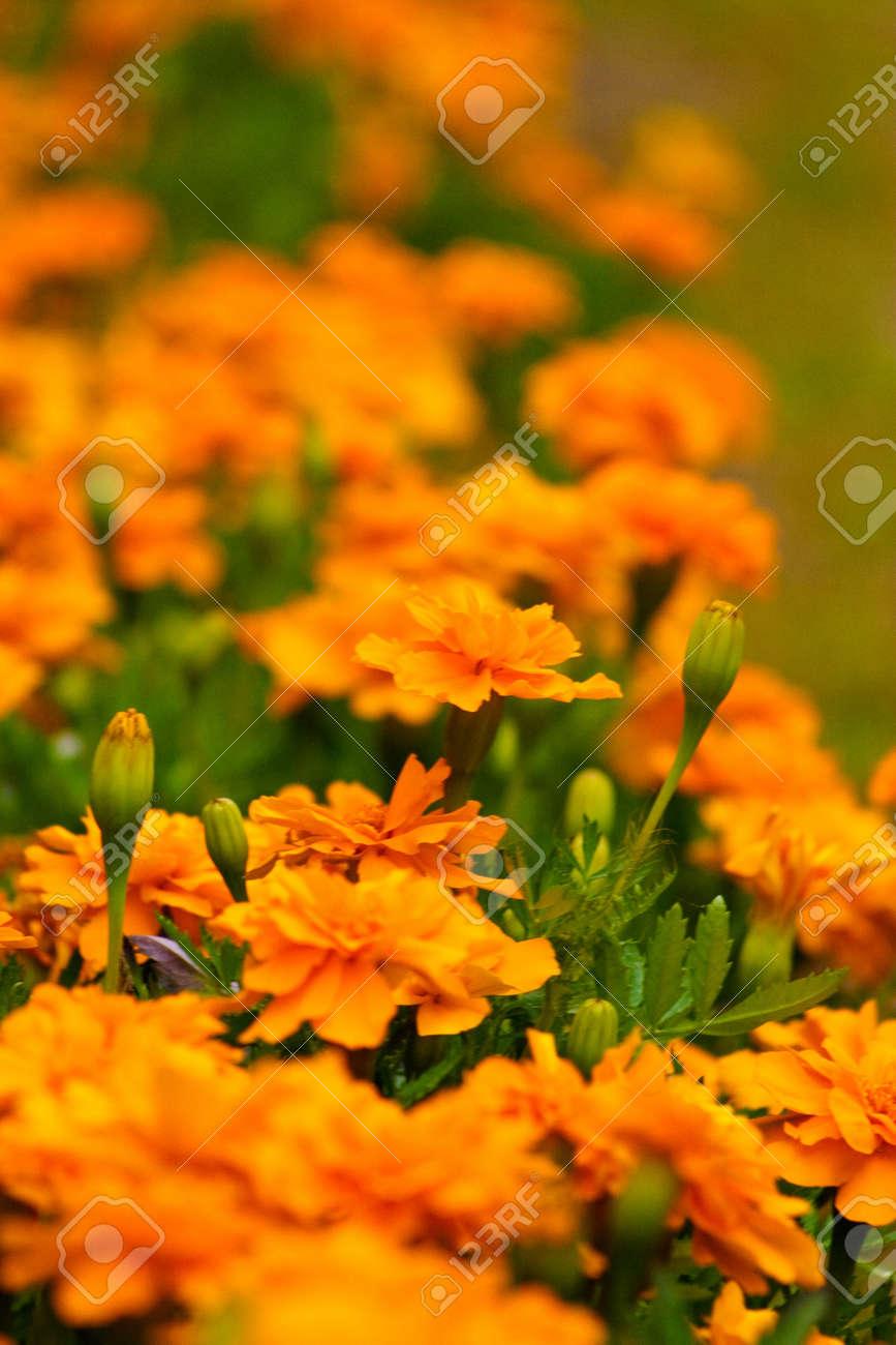 Bunte Blumen Draußen Im Garten Lizenzfreie Fotos, Bilder Und Stock ...