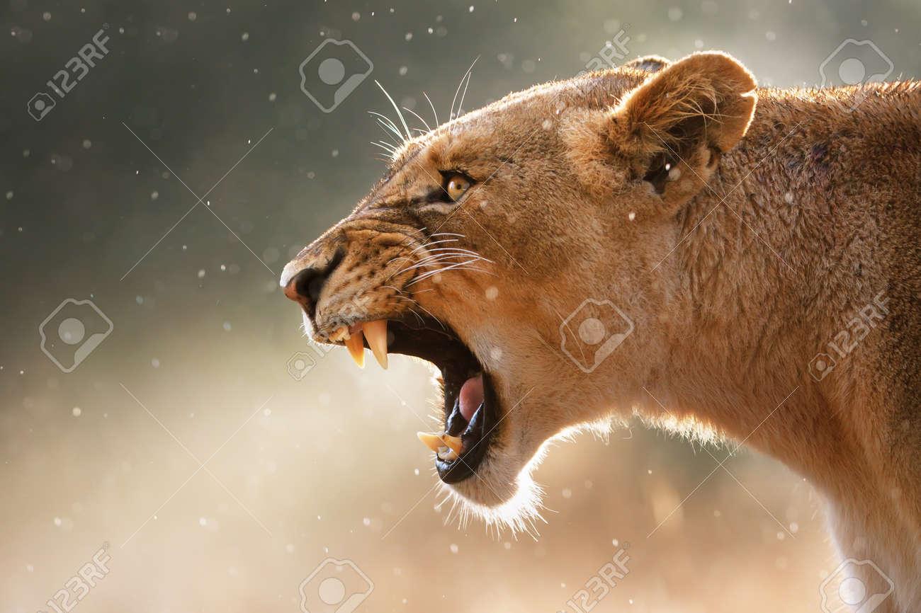 Lioness displays dangerous teeth during light rainstorm  - Kruger National Park - South Africa Stock Photo - 9802203
