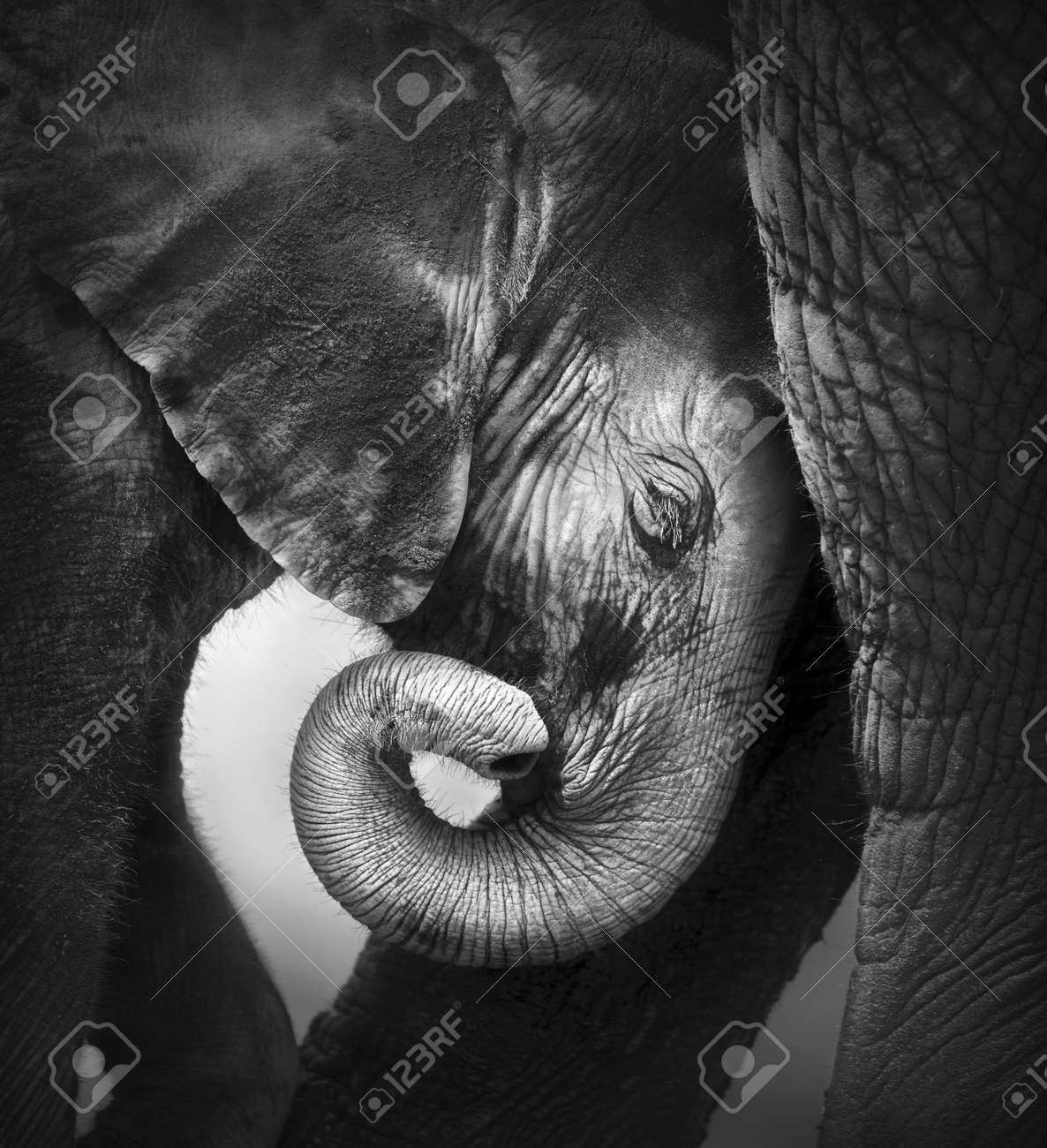 Fashion week White and black baby elephant photography for woman