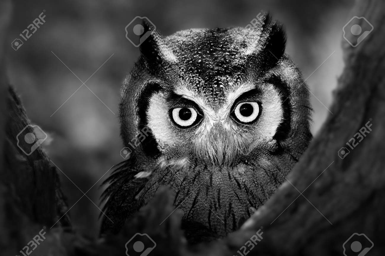 Close-up of a Whitefaced Owl  Artistic Processing Stock Photo - 14557126