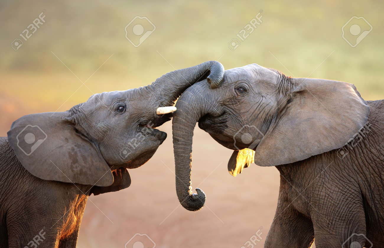Elephants touching each other gently  greeting  - Addo Elephant National Park Stock Photo - 14989800