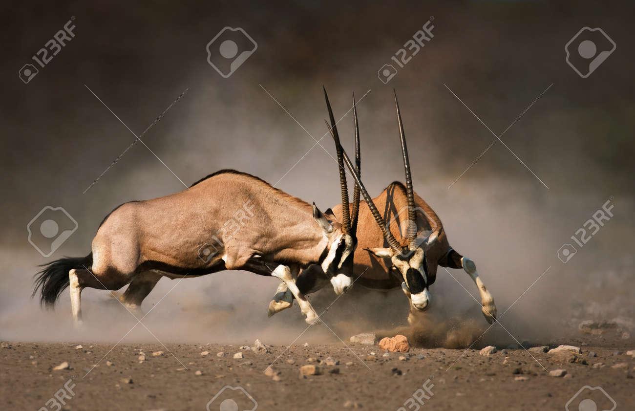 Intense fight between two male Gemsbok on dusty plains of Etosha - 32578837