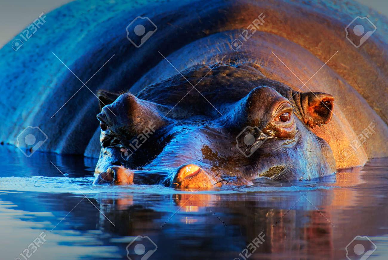 Hippopotamus (Hippopotamus amphibius) at sunset and low angle - Kruger National Park (South Africa) - 43613680