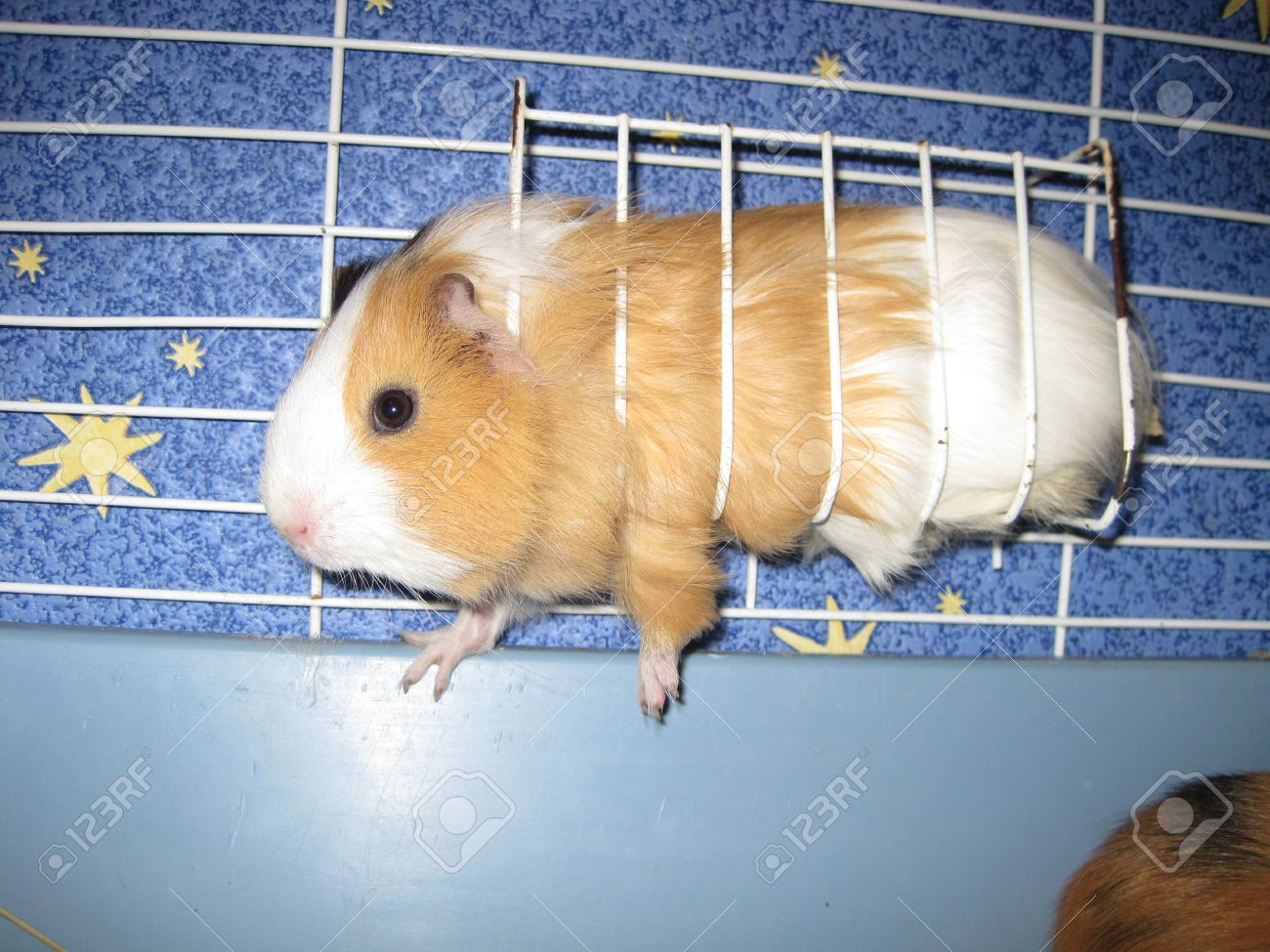 Brand-new Orange And White Guinea Pig In A Cage Stock Photo, Picture And  DN54