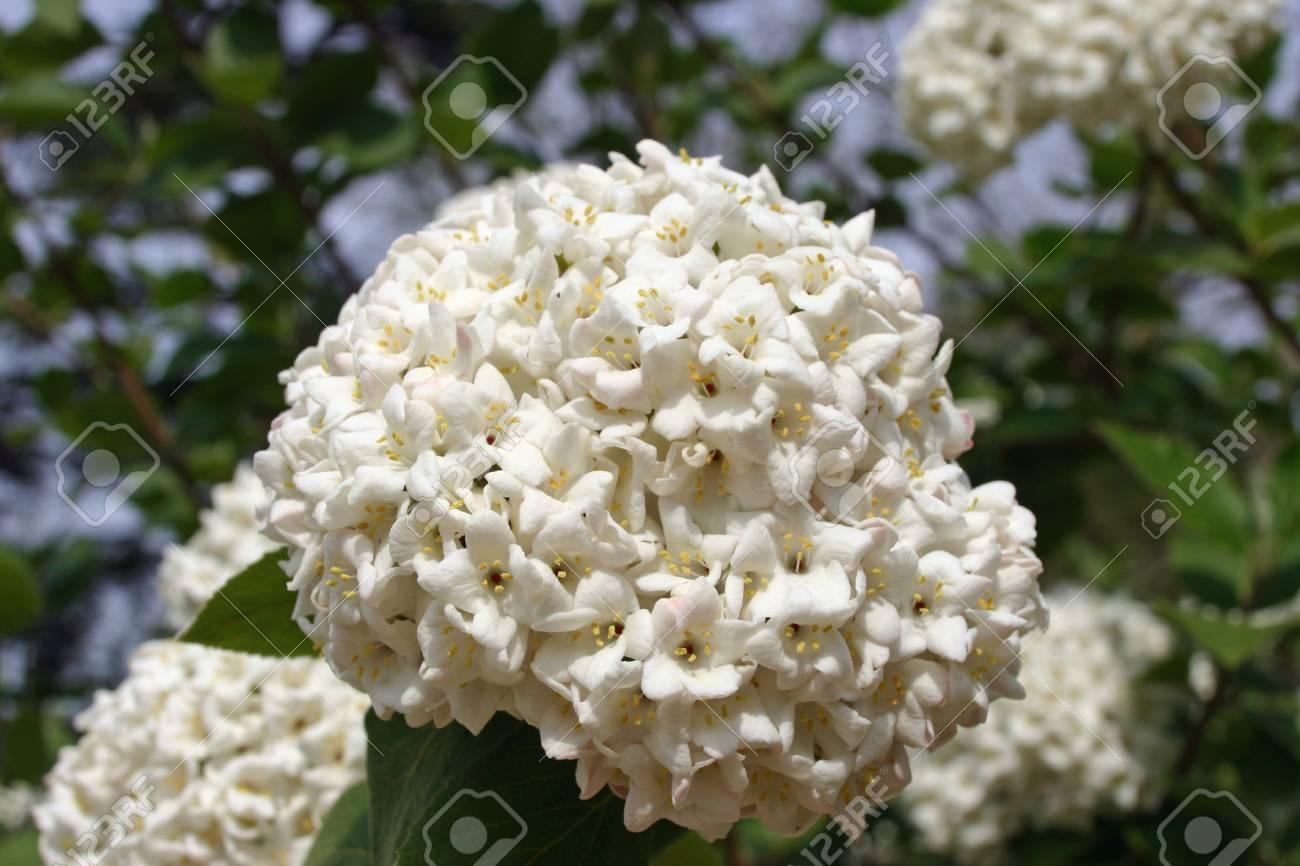 White Flowering Shrub That Looks Like A Viburnum Species Stock Photo