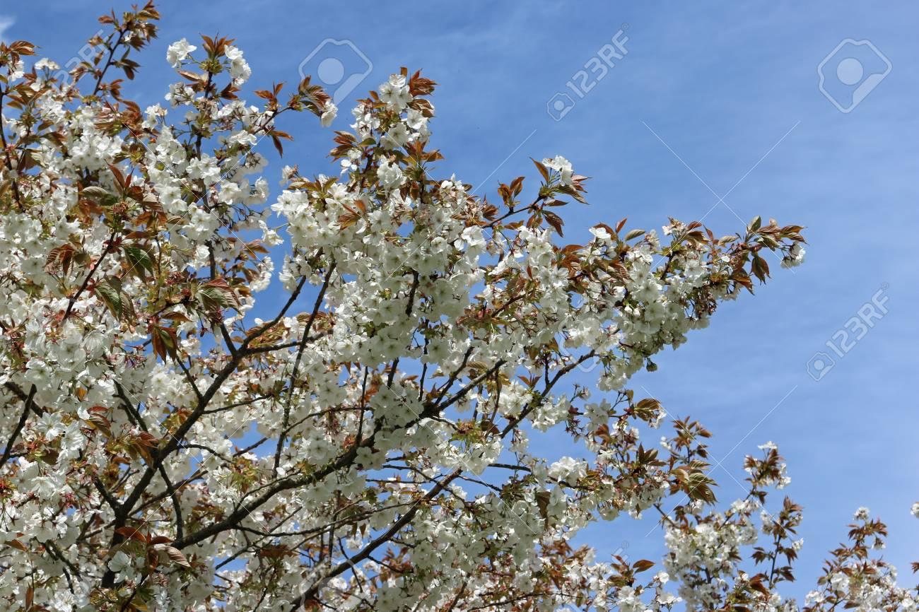 Great White Flowered Japanese Cherry Tree Prunus Serratula Stock