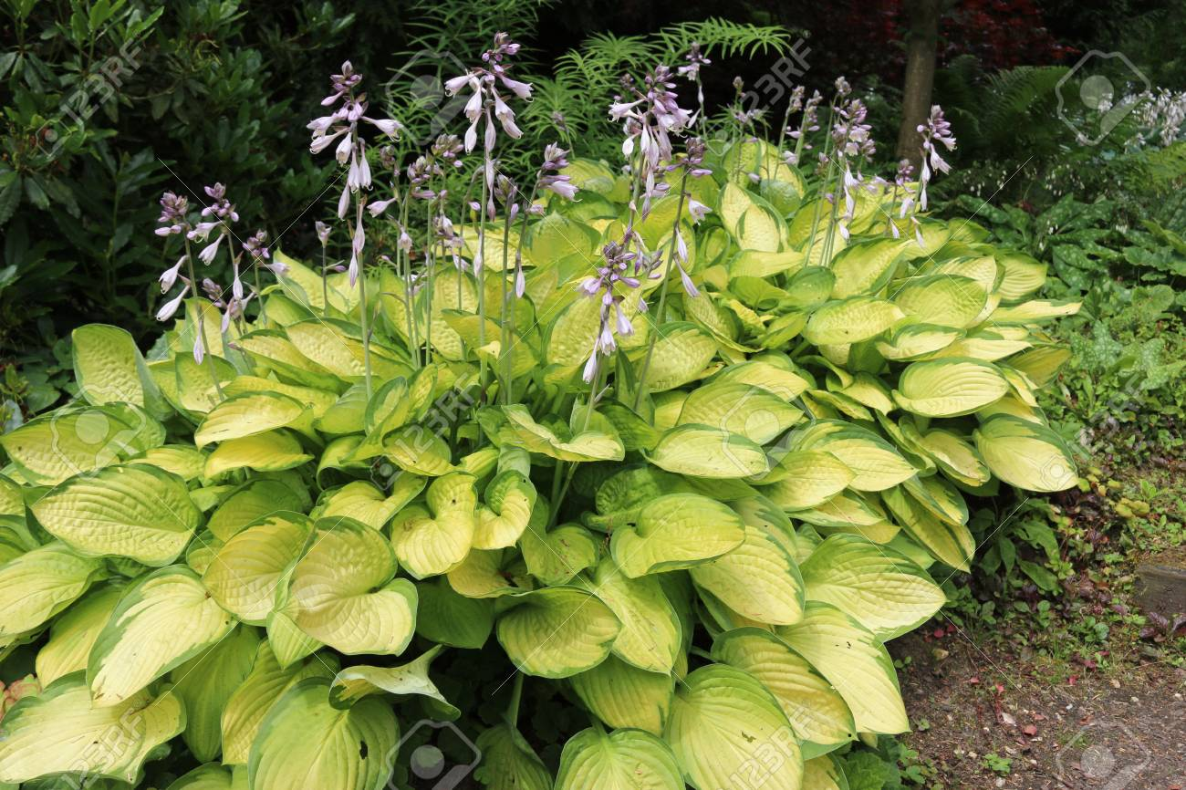 Plantain Lilies Hosta Growing In Partial Shade With Pale Lilac