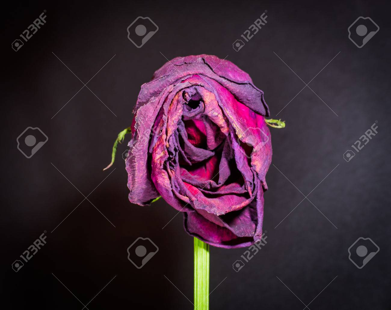 Closeup of a vertical dying rose with wilting petals on black background - 40299646