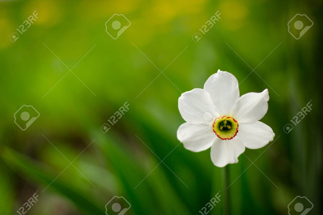 Solitary white daffodil flower blooming against a green empty solitary white daffodil flower blooming against a green empty unfocused background stock photo 40558982 mightylinksfo