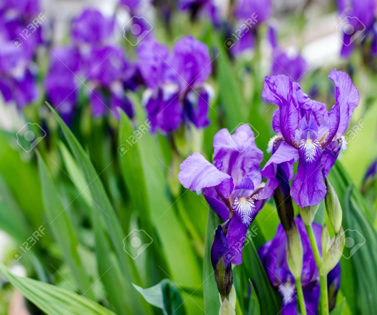 Bunch of iris flowers in full springtime bloom stock photo picture bunch of iris flowers in full springtime bloom stock photo 40559245 izmirmasajfo