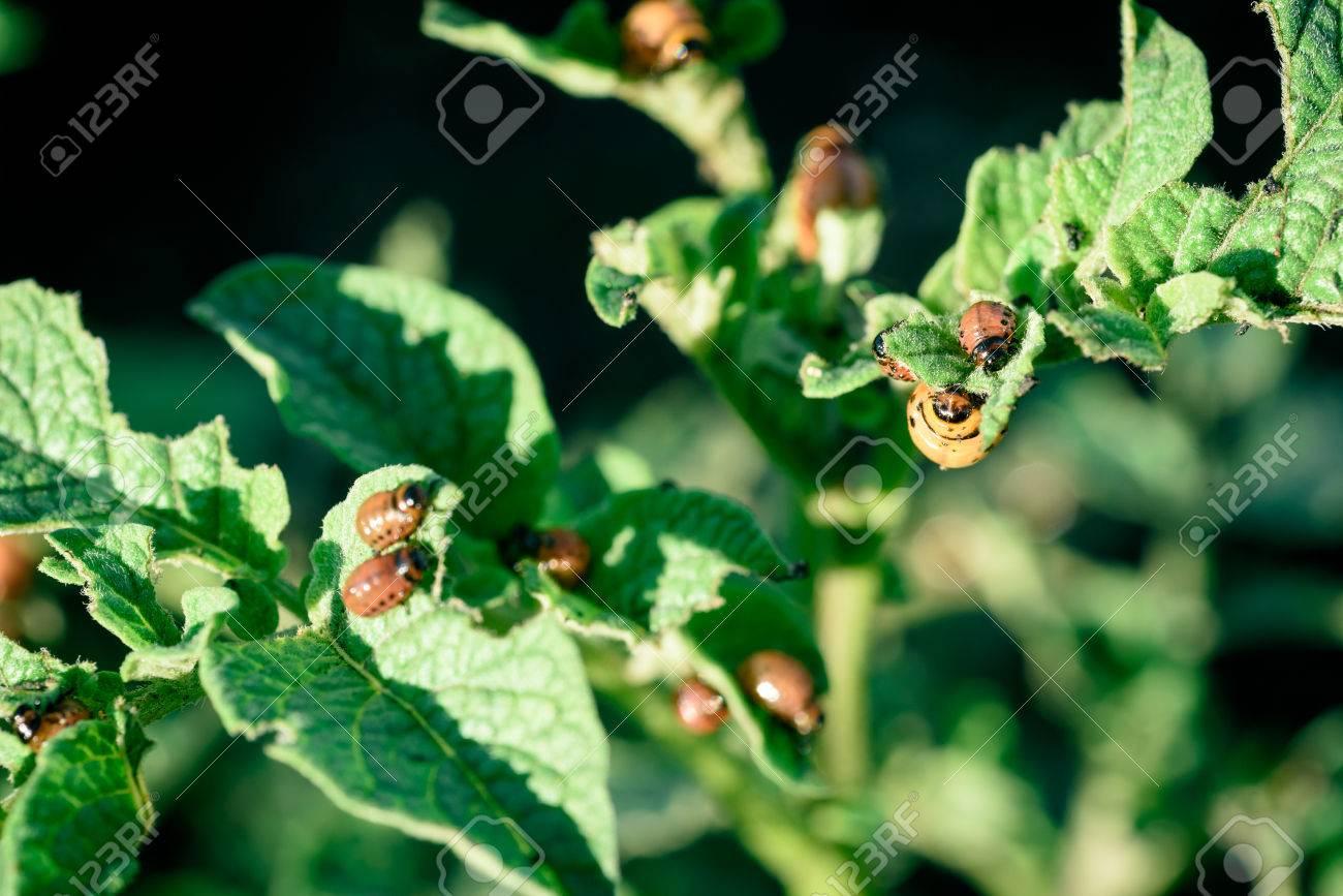 Les Larves De Coleopteres Leptinotarsa Decemlineata Mangent Une