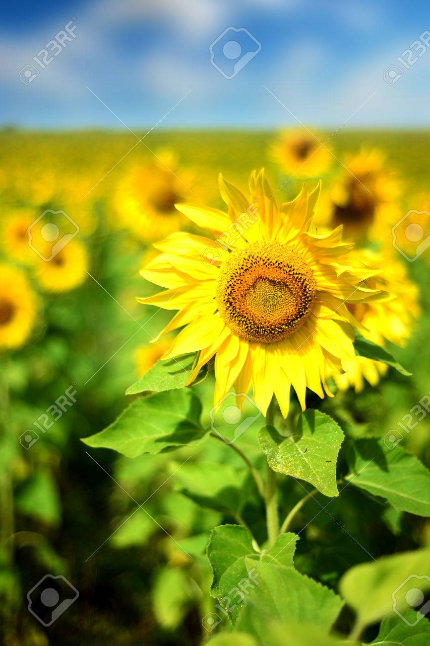 Field Of Wild Yellow Sunflowers In Nature In Vertical Composition