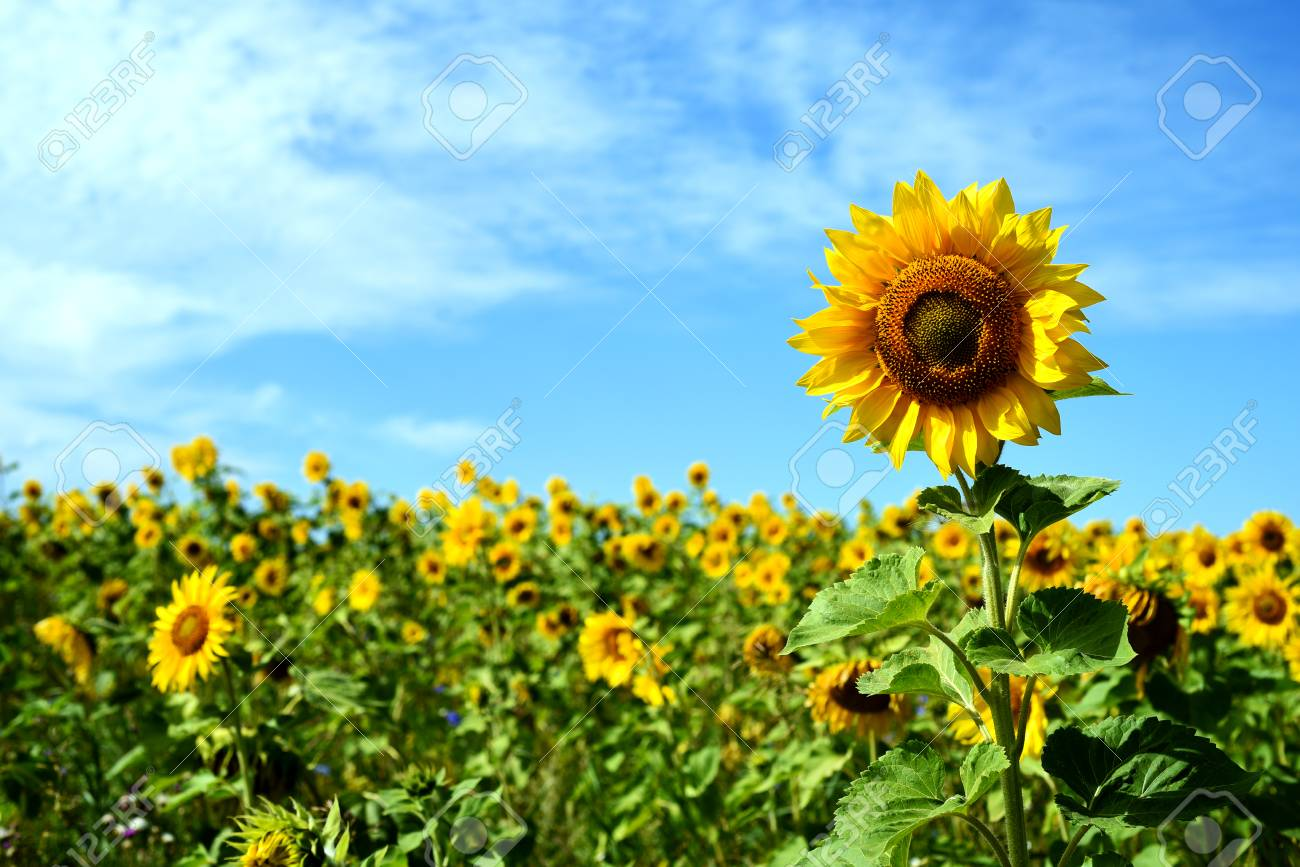 Tall Sunflower With A Field Of Flowers Behind With A Bright Blue