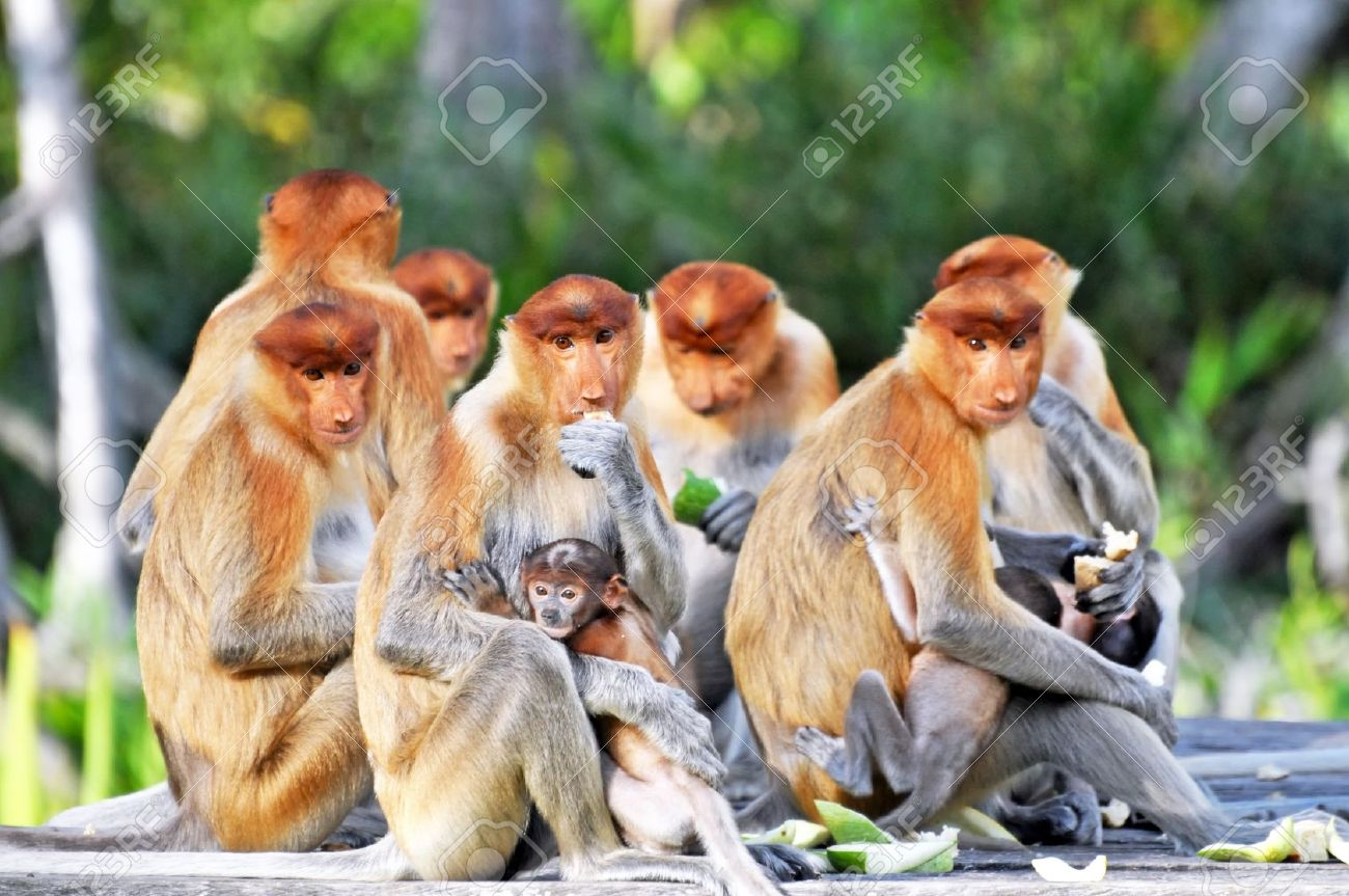 Group of proboscis monkeys during the feeding time, national park in Borneo. Stock Photo - 10147521