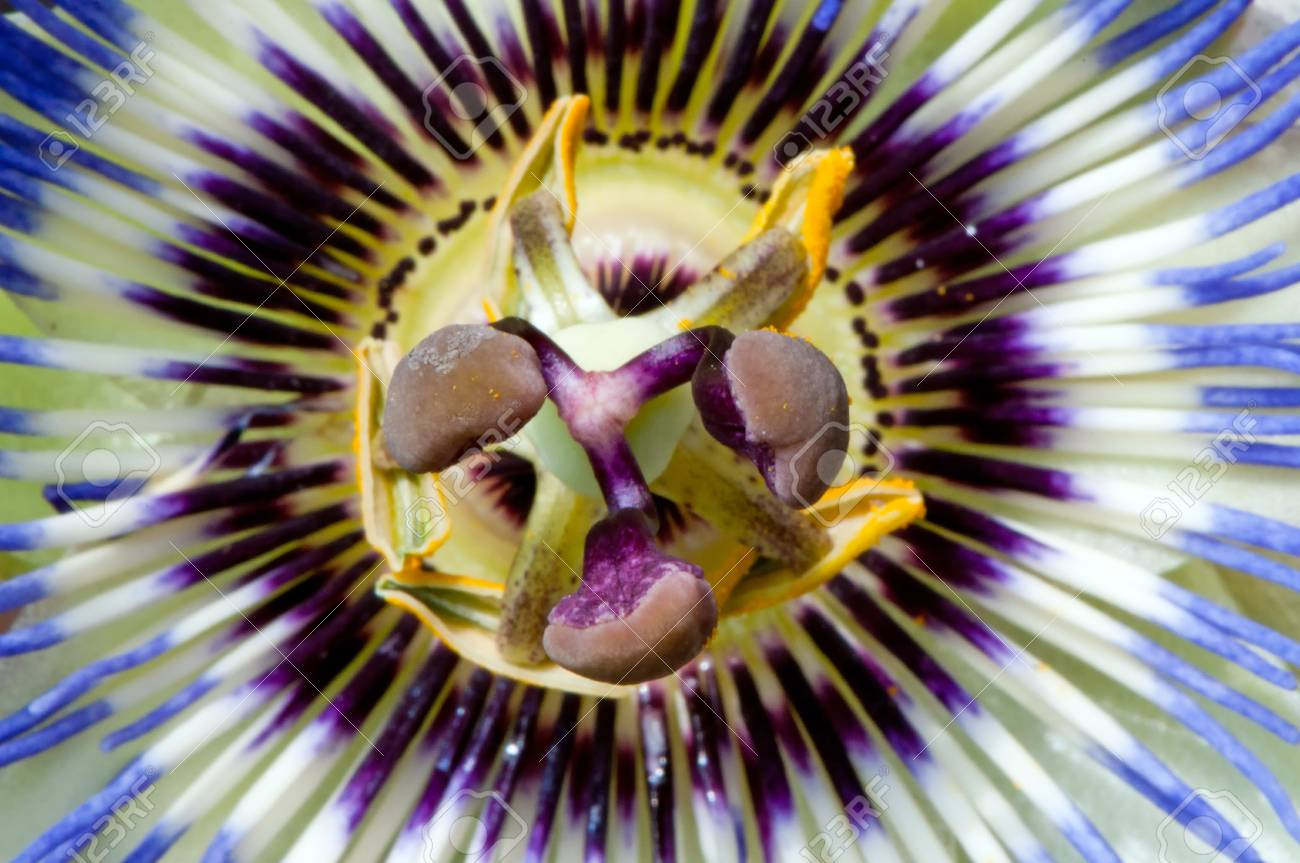 Close Up View Of Blue Passion Flower Stock Photo Picture And
