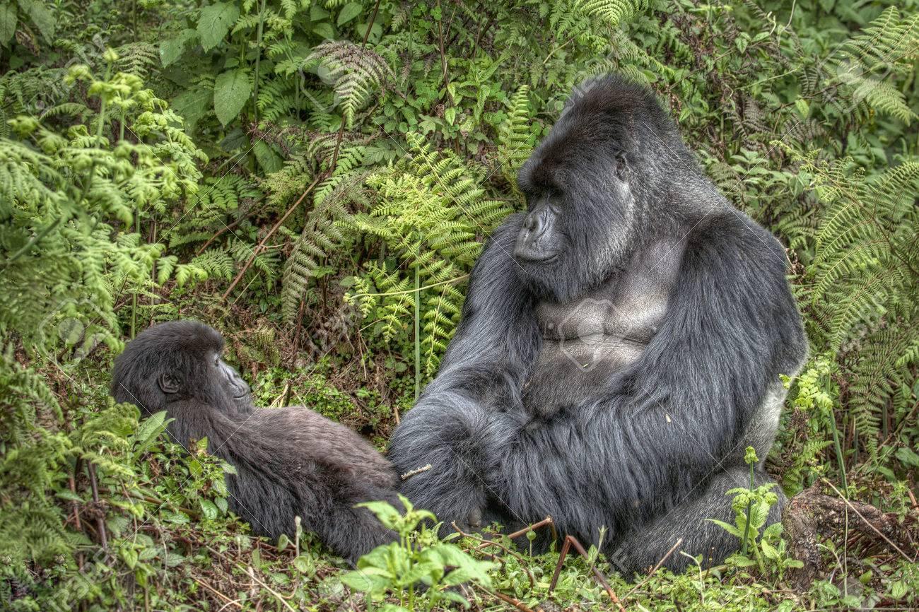 Fabulous Un Dos Argenté Gorille Est Assis Jouant Avec Un Bébé Gorille Dans  DU81