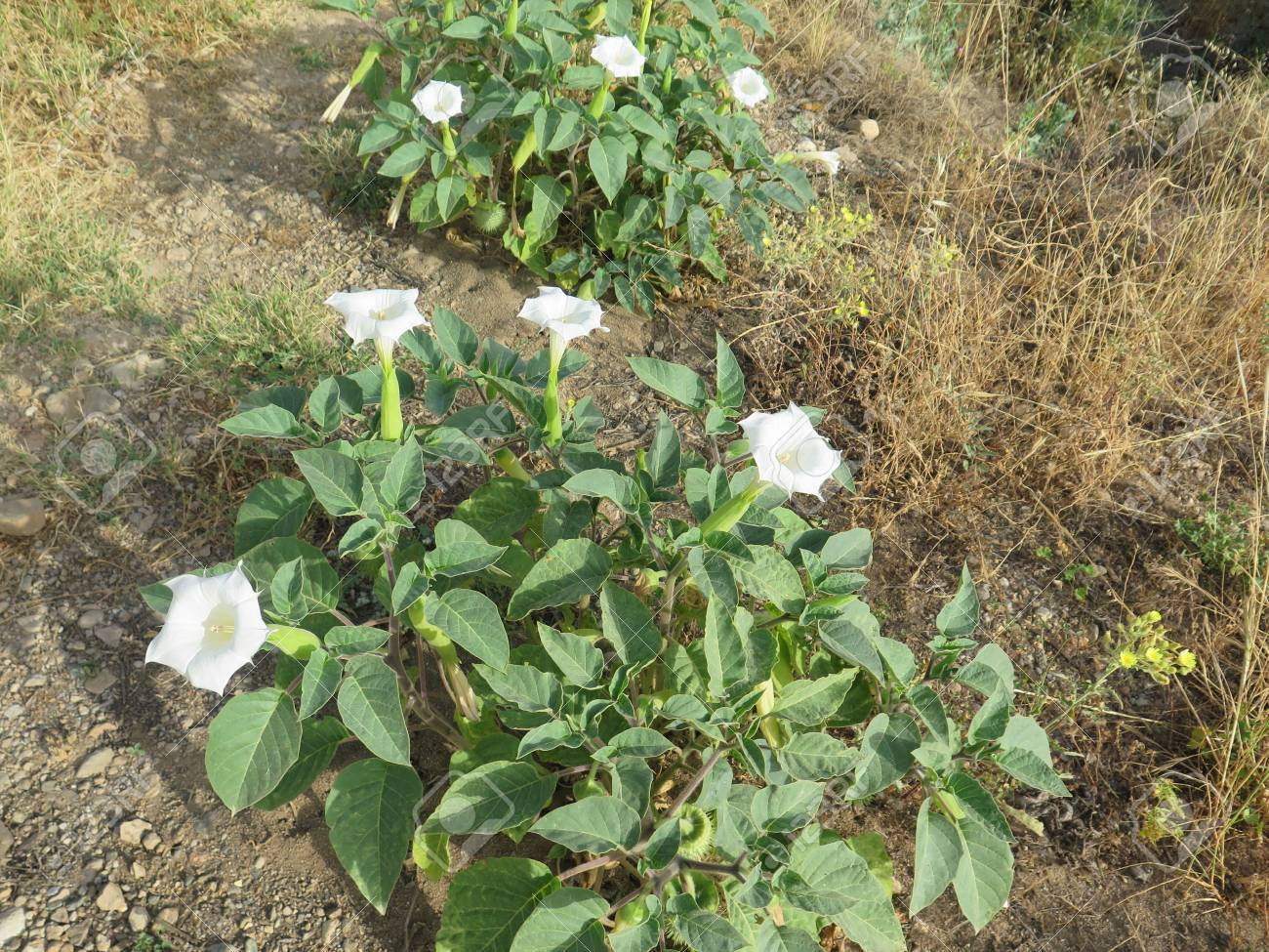 White Datura Flower On A Background Of Foliage In Alora Countryside