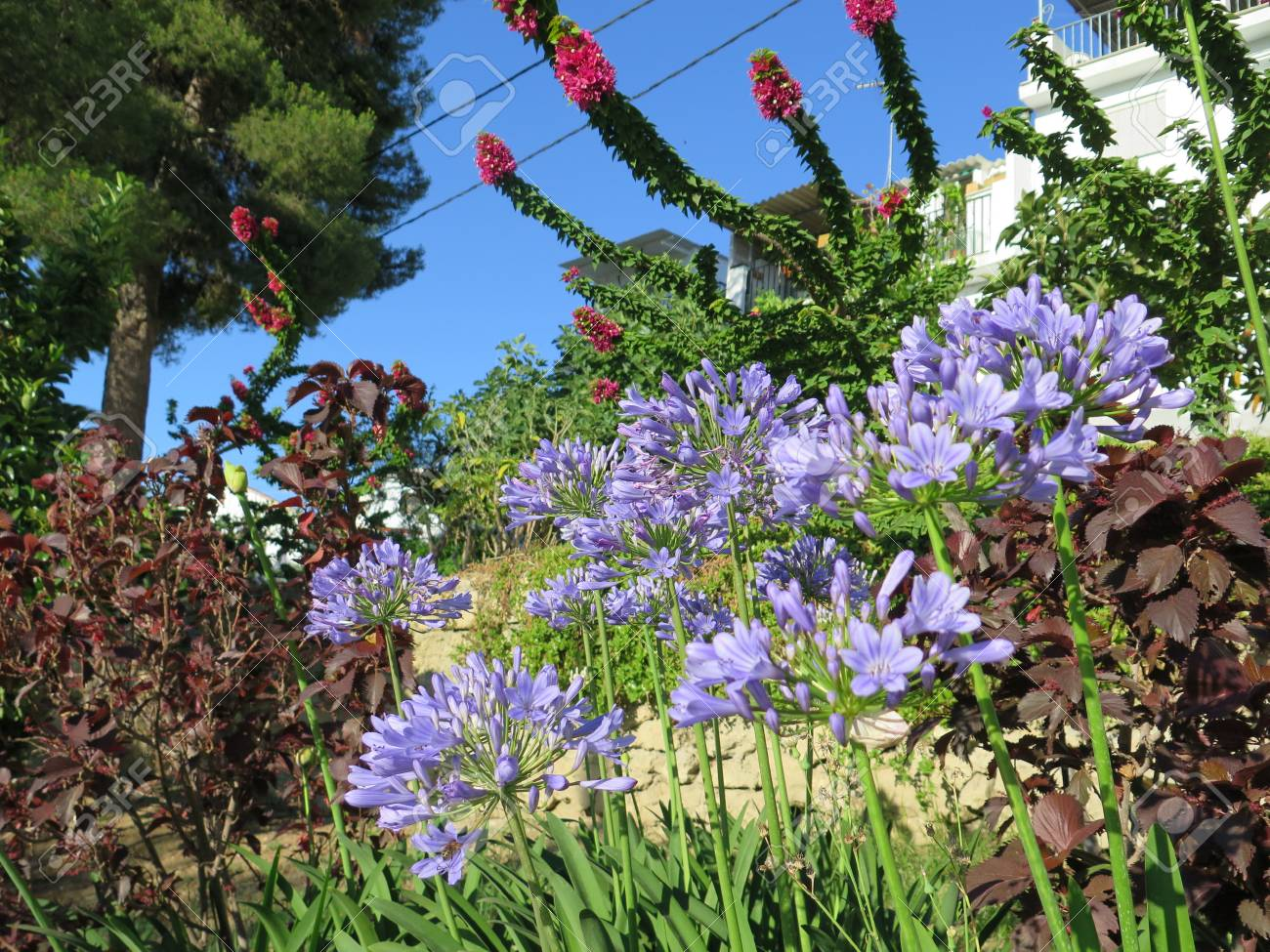 Agapanthus or lily of the nile flowers on road embankment in stock agapanthus or lily of the nile flowers on road embankment in alora andalucia stock photo izmirmasajfo
