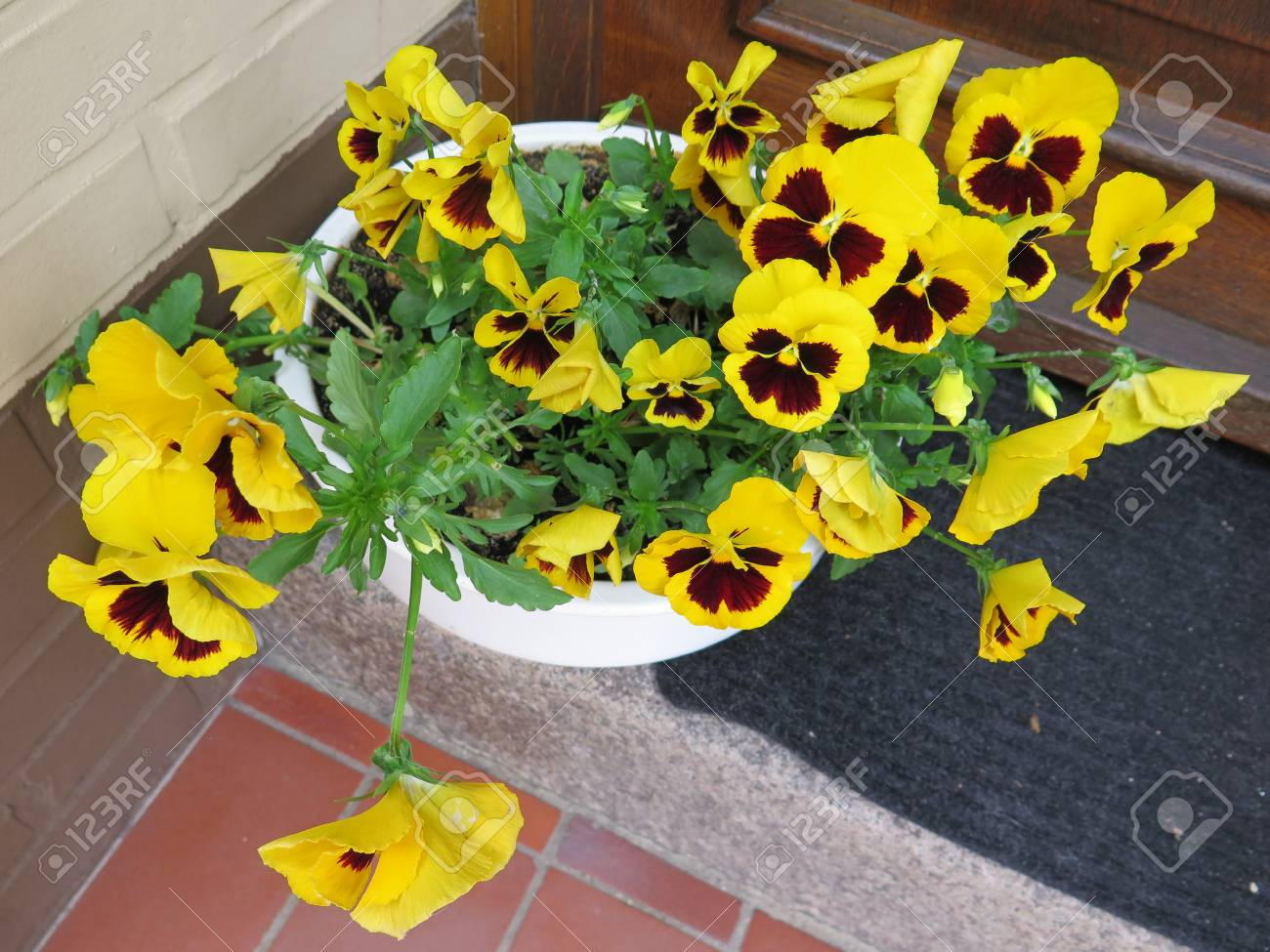 Yellow Pansy Flowers On Doorstep In German Town Stock Photo Picture