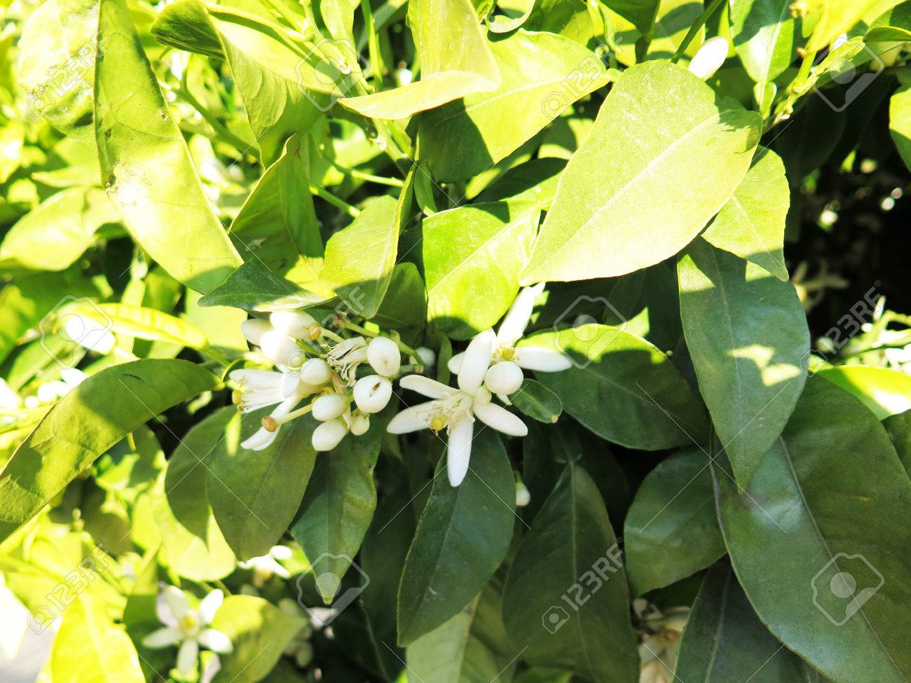 Orange blossom is the waxy white blossom of the orange tree orange blossom is the waxy white blossom of the orange tree orange blossom are mightylinksfo