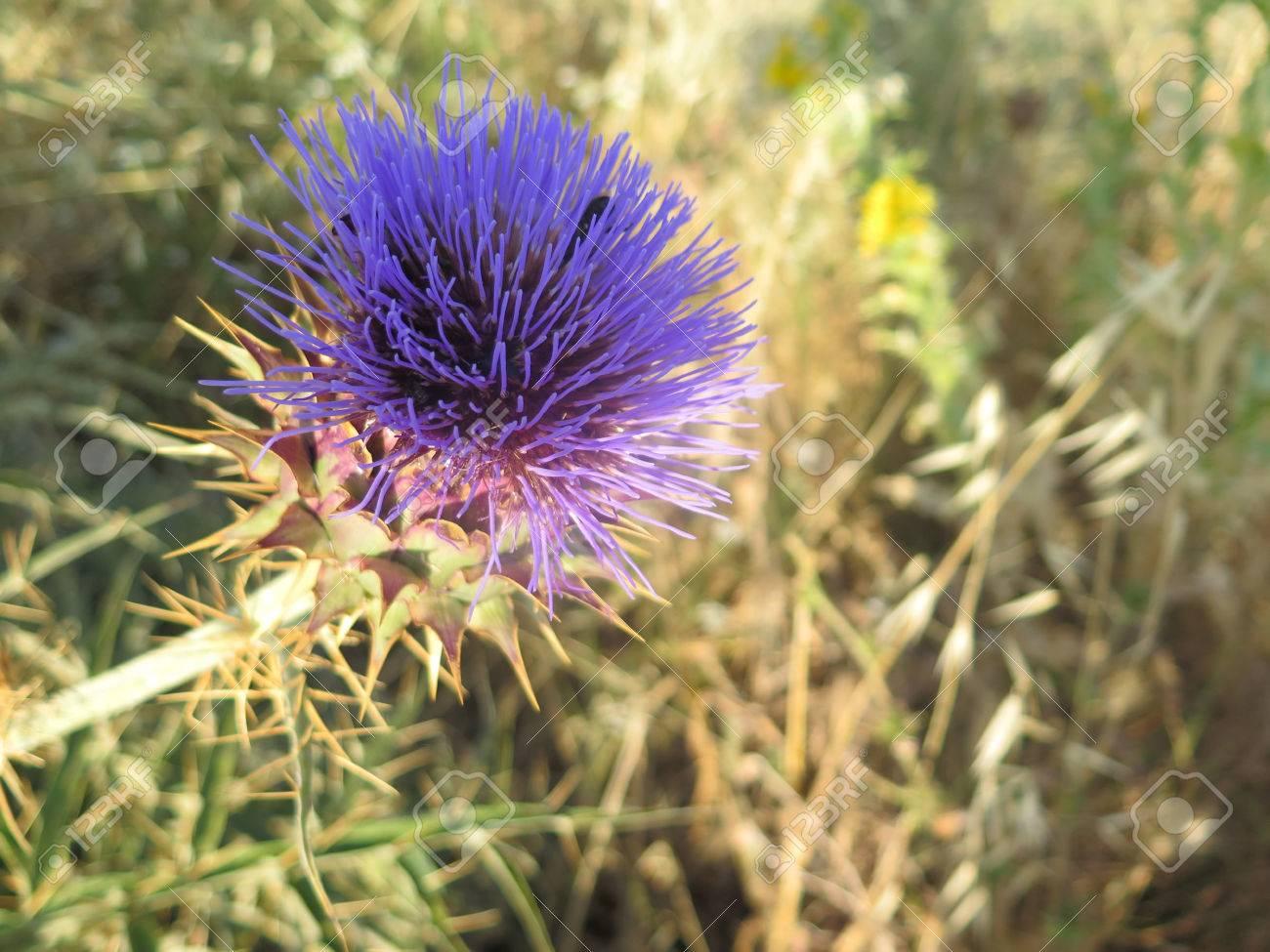 Close Up Van Paarse Distel Bloeit In Droog Landschap In Andalusie Spanje Royalty Vrije Foto Plaatjes Beelden En Stock Fotografie Image 80753312